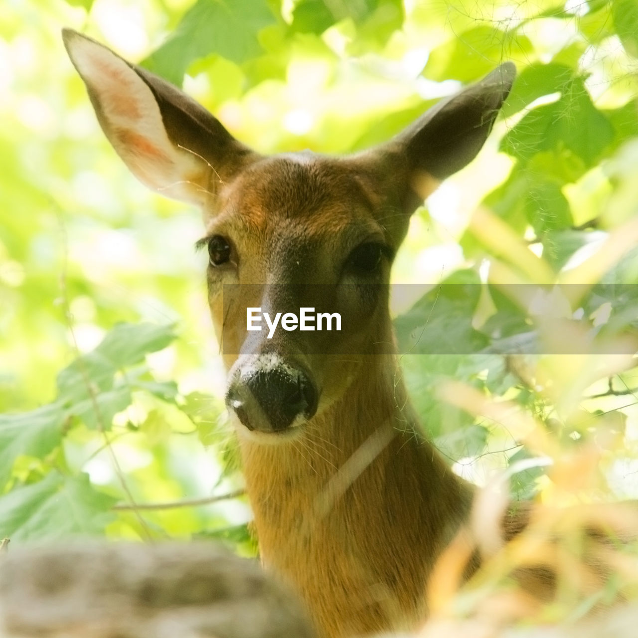 animal themes, one animal, mammal, deer, looking at camera, portrait, nature, no people, day, animal wildlife, domestic animals, outdoors, animals in the wild, close-up, tree