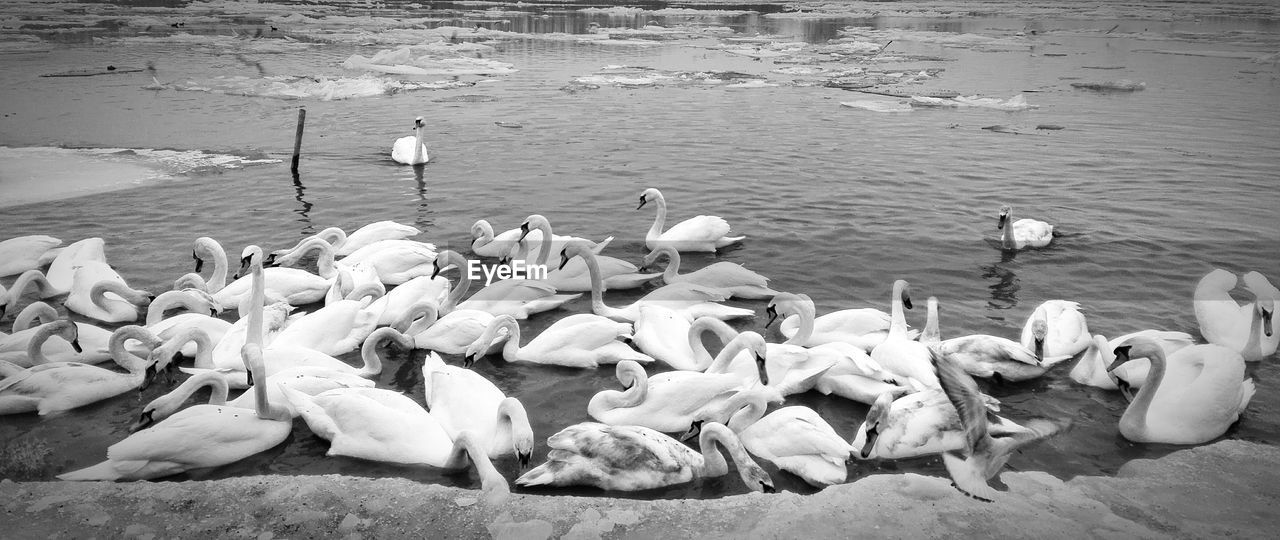 animals in the wild, animal themes, large group of animals, bird, animal wildlife, swan, nature, water, lake, no people, high angle view, flock of birds, swimming, day, water bird, outdoors, flamingo
