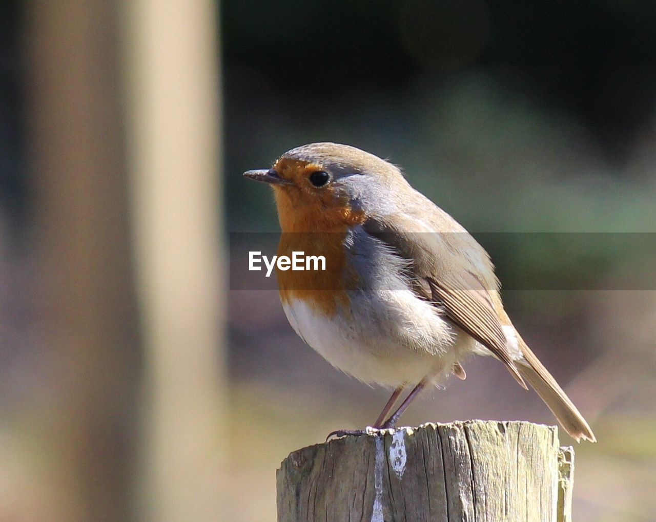 one animal, bird, focus on foreground, animal themes, perching, animals in the wild, animal wildlife, close-up, no people, day, outdoors, robin, nature