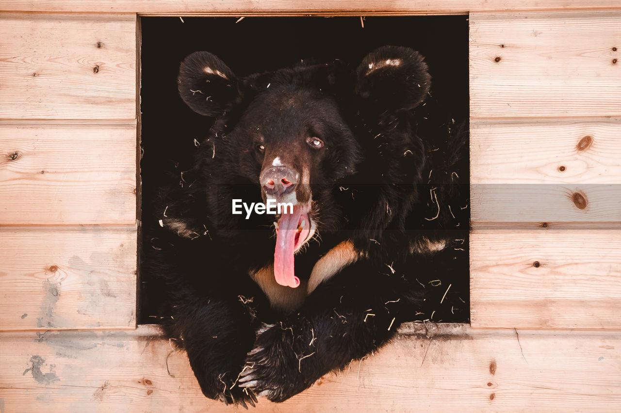 A himalayan black bear lies yawning in a wooden box. keeping large predators in captivity