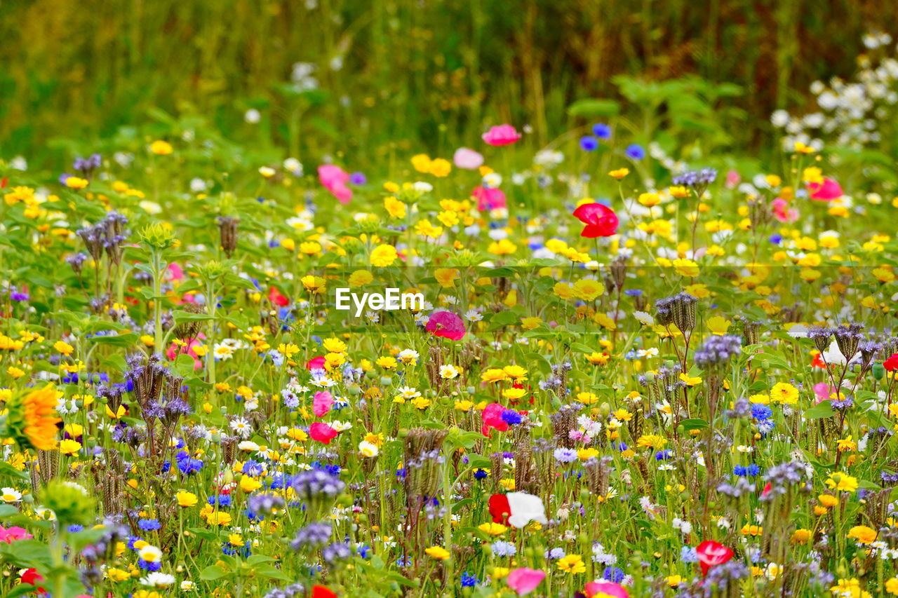flower, flowering plant, plant, freshness, beauty in nature, multi colored, fragility, vulnerability, growth, nature, yellow, no people, field, abundance, day, land, selective focus, outdoors, flowerbed, close-up, flower head, springtime, ornamental garden
