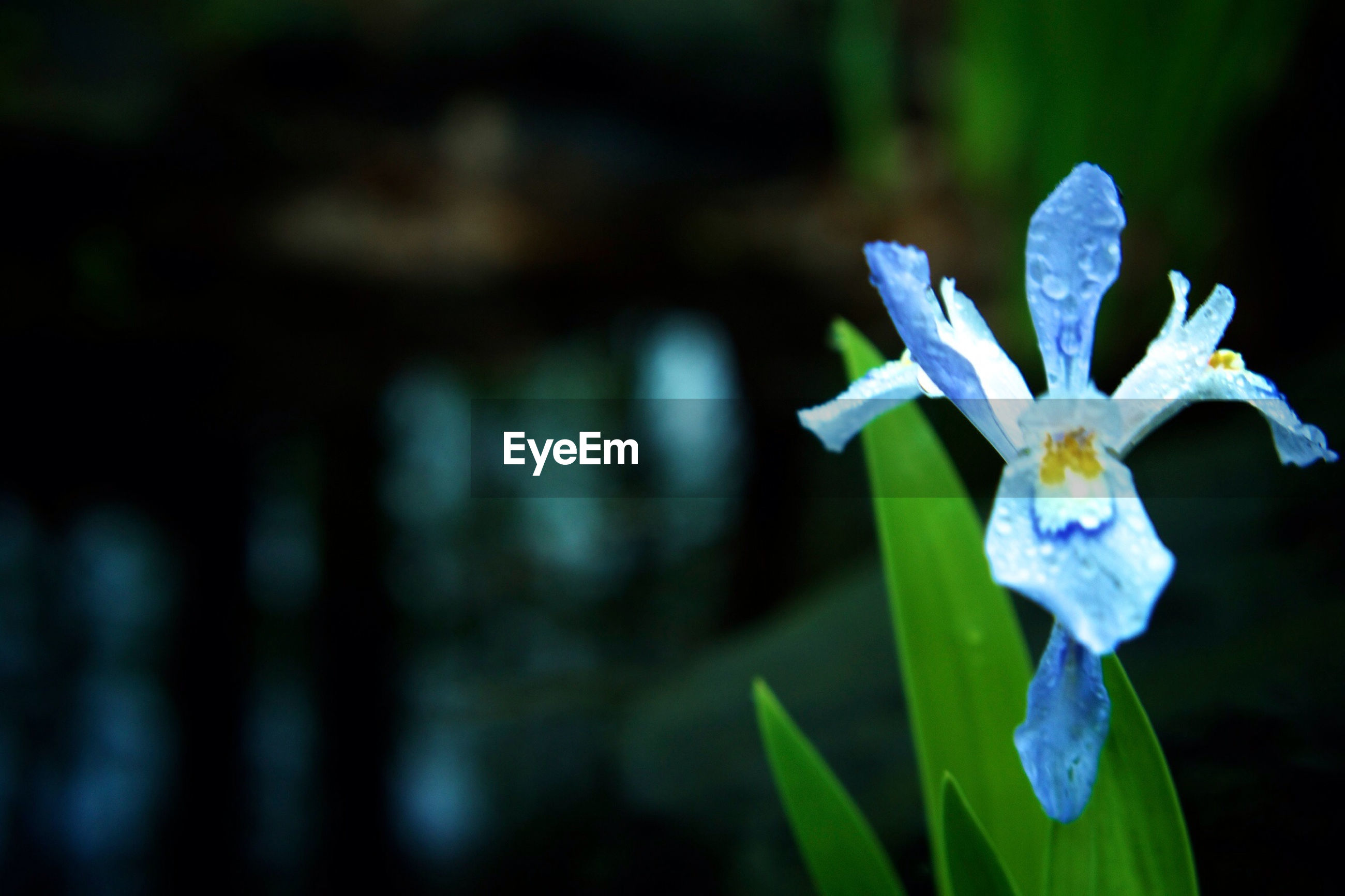 flower, fragility, freshness, focus on foreground, blue, growth, petal, purple, close-up, plant, beauty in nature, flower head, nature, blooming, selective focus, stem, outdoors, in bloom, white color, no people