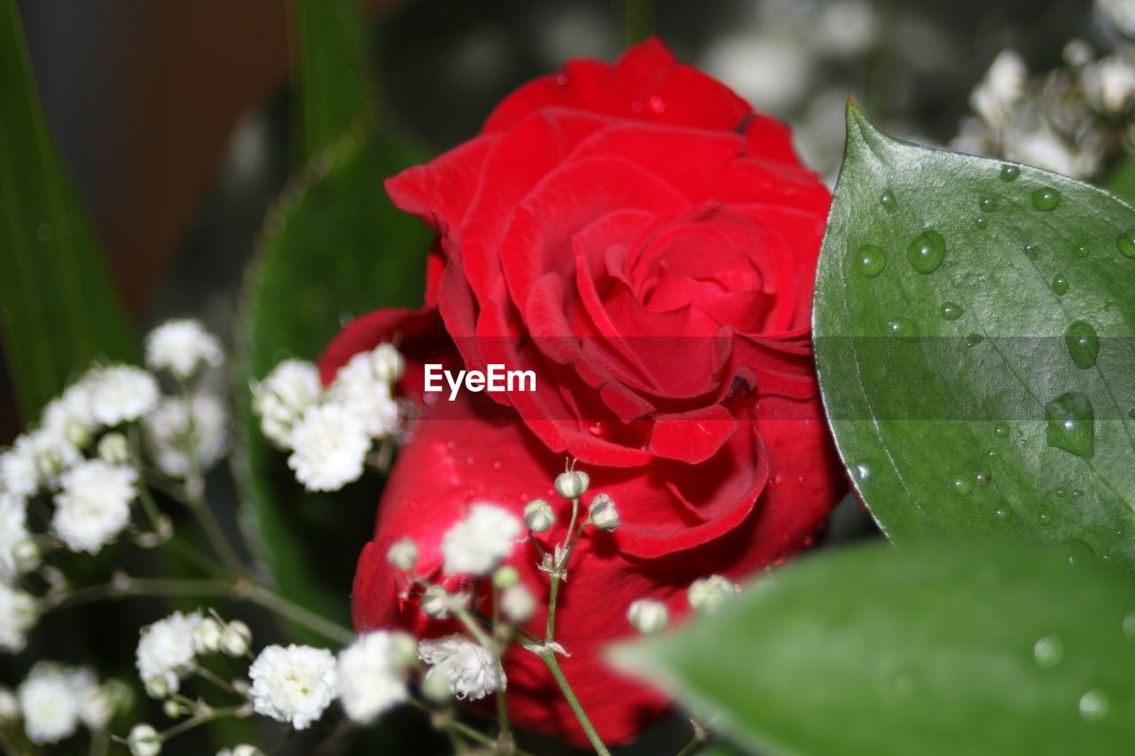 flower, petal, red, nature, fragility, beauty in nature, freshness, growth, drop, water, flower head, green color, rose - flower, leaf, plant, close-up, no people, day, outdoors, blooming