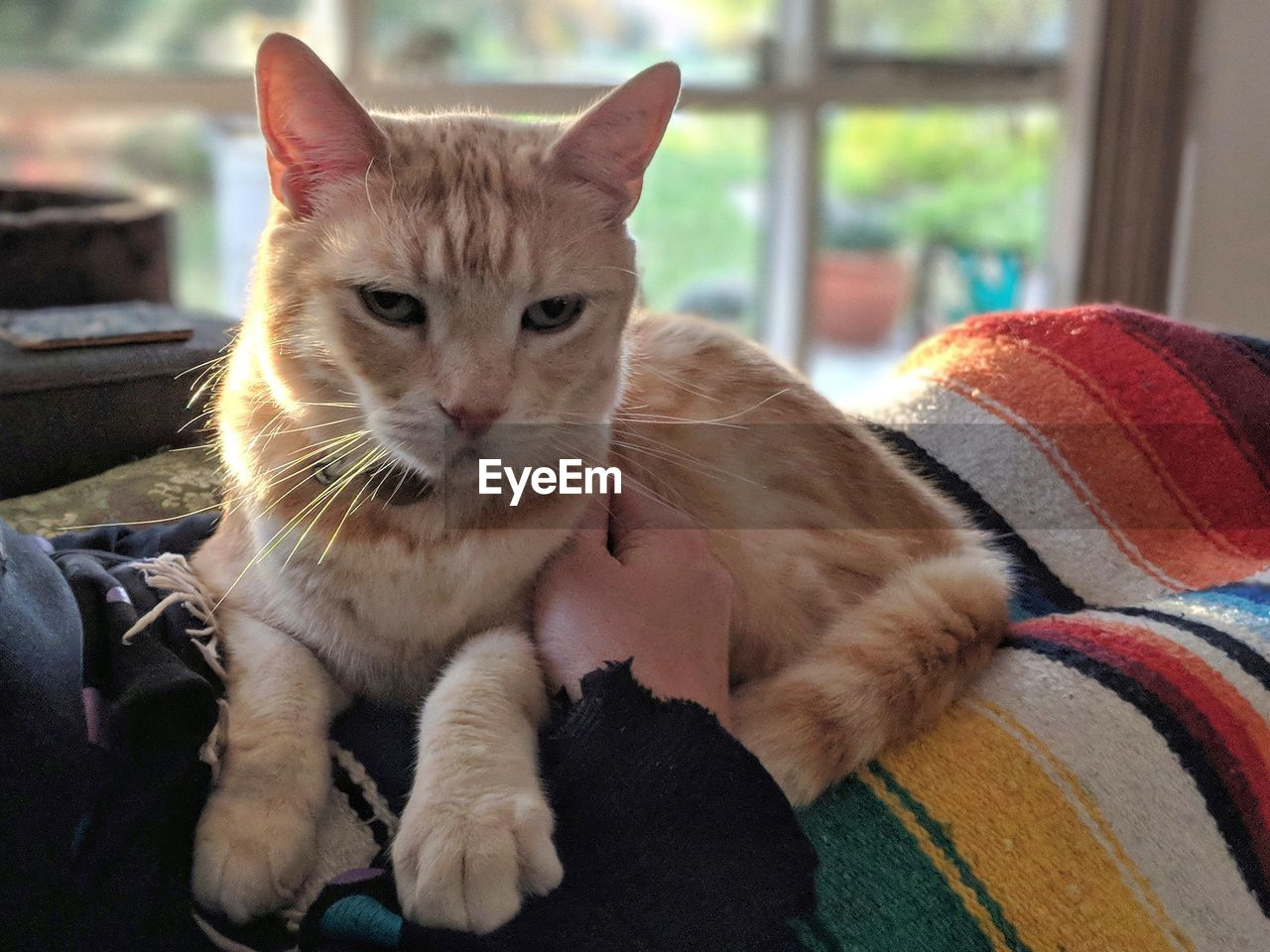 pets, domestic, domestic animals, mammal, one animal, cat, feline, domestic cat, vertebrate, portrait, looking at camera, relaxation, focus on foreground, indoors, whisker, people, close-up, sitting, ginger cat