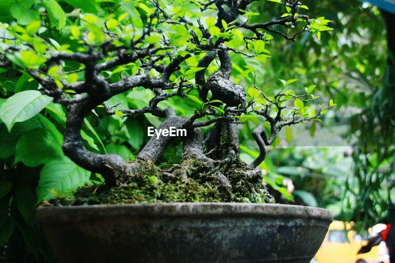 plant, tree, growth, green color, nature, bonsai tree, potted plant, plant part, leaf, day, focus on foreground, outdoors, no people, beauty in nature, branch, close-up, selective focus, gardening, botany, care, flower pot