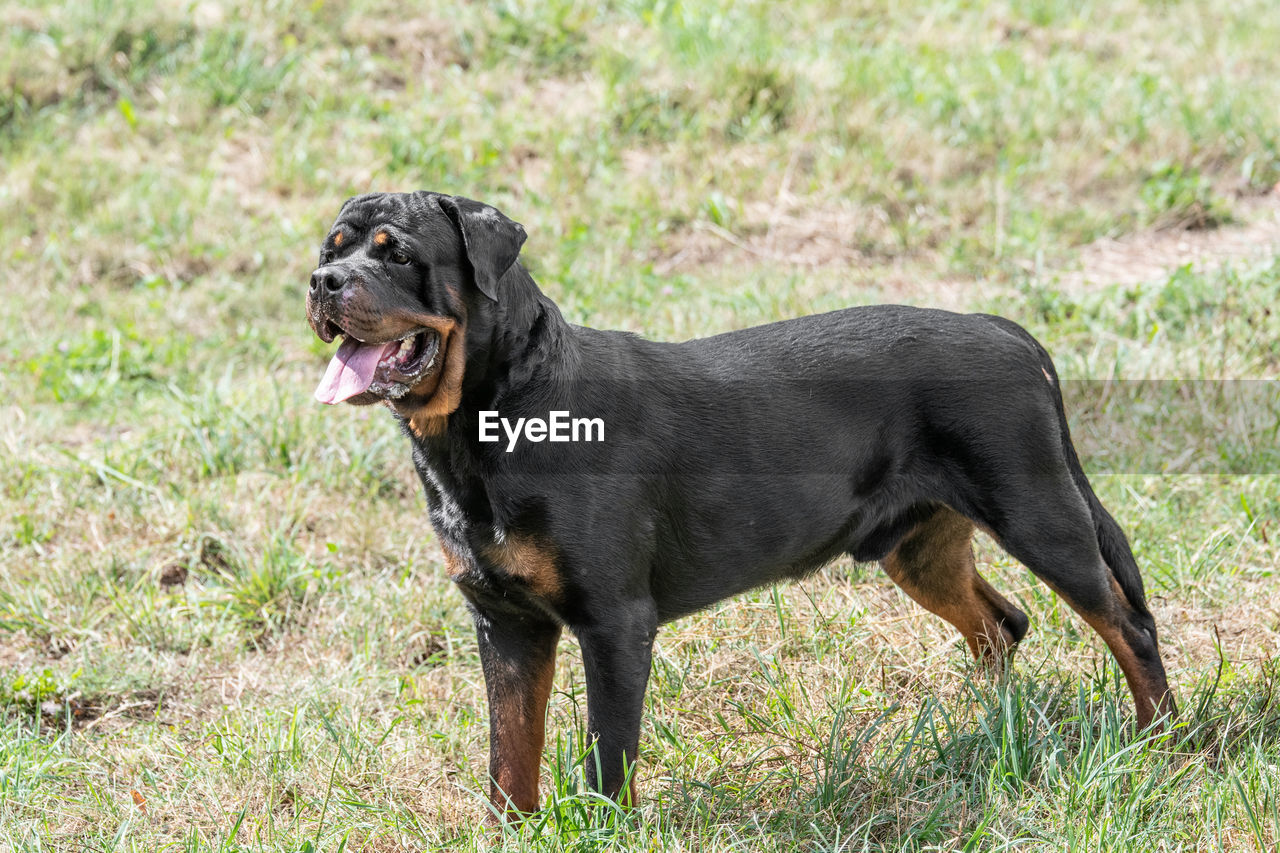 one animal, canine, animal, dog, animal themes, mammal, domestic, pets, domestic animals, black color, grass, plant, no people, nature, vertebrate, day, side view, field, looking, land, outdoors, purebred dog, panting, small, profile view