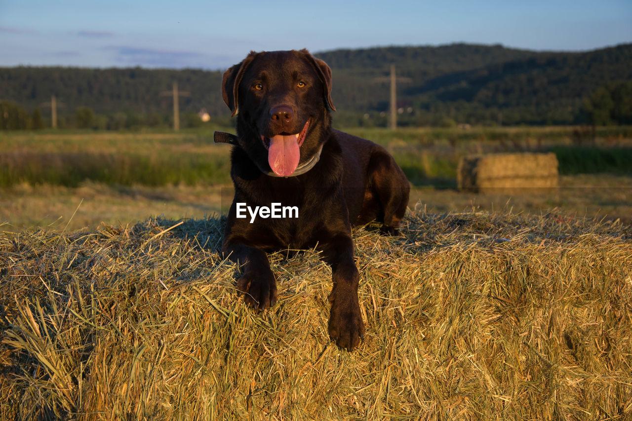 Dog On Hay Bale