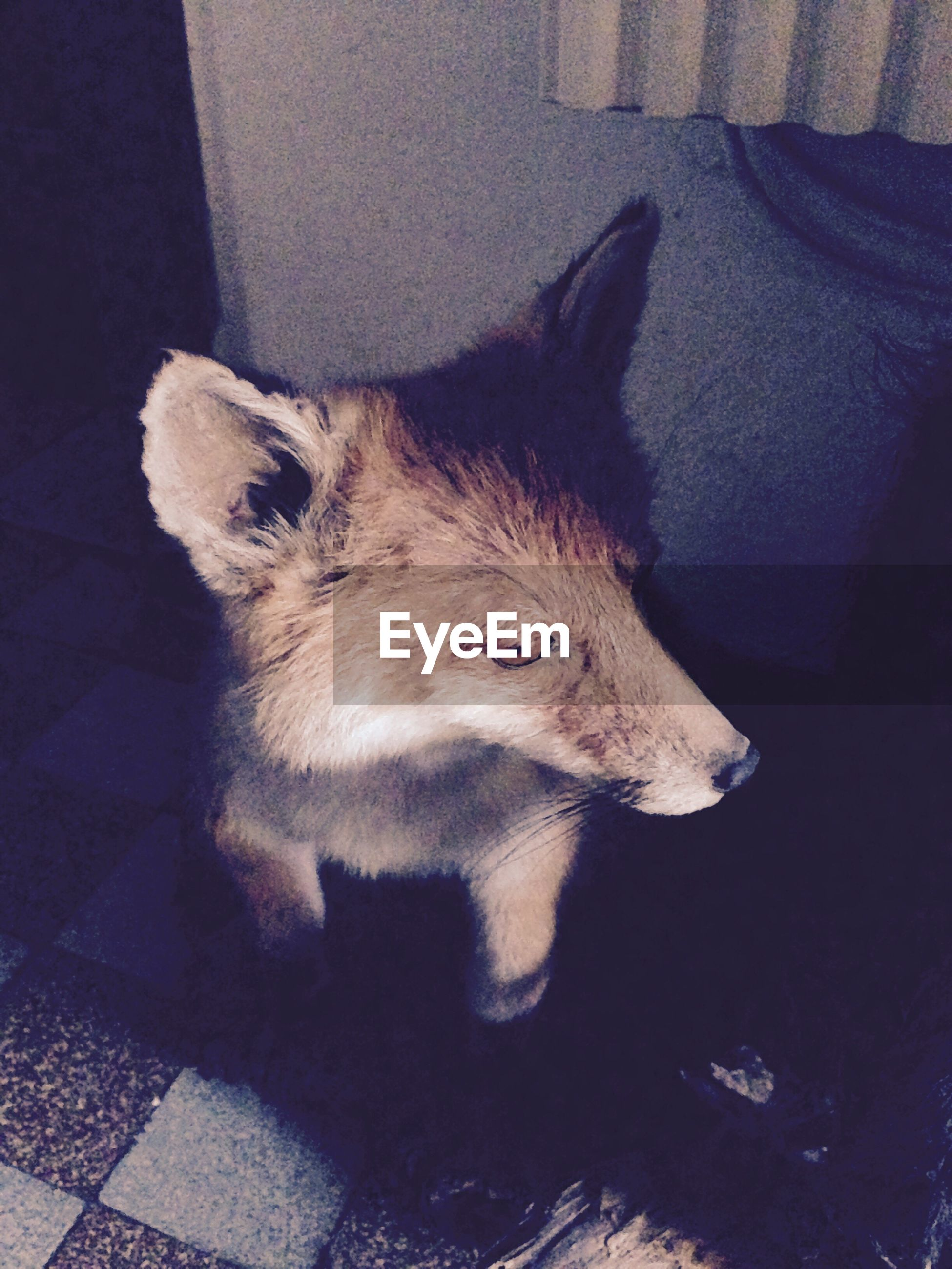 High angle view of fox taxidermy