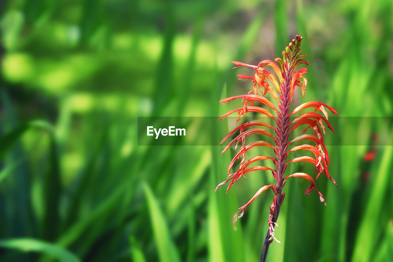 plant, growth, beauty in nature, focus on foreground, green color, close-up, nature, no people, day, tranquility, freshness, plant part, leaf, fragility, vulnerability, outdoors, red, land, flower, sunlight