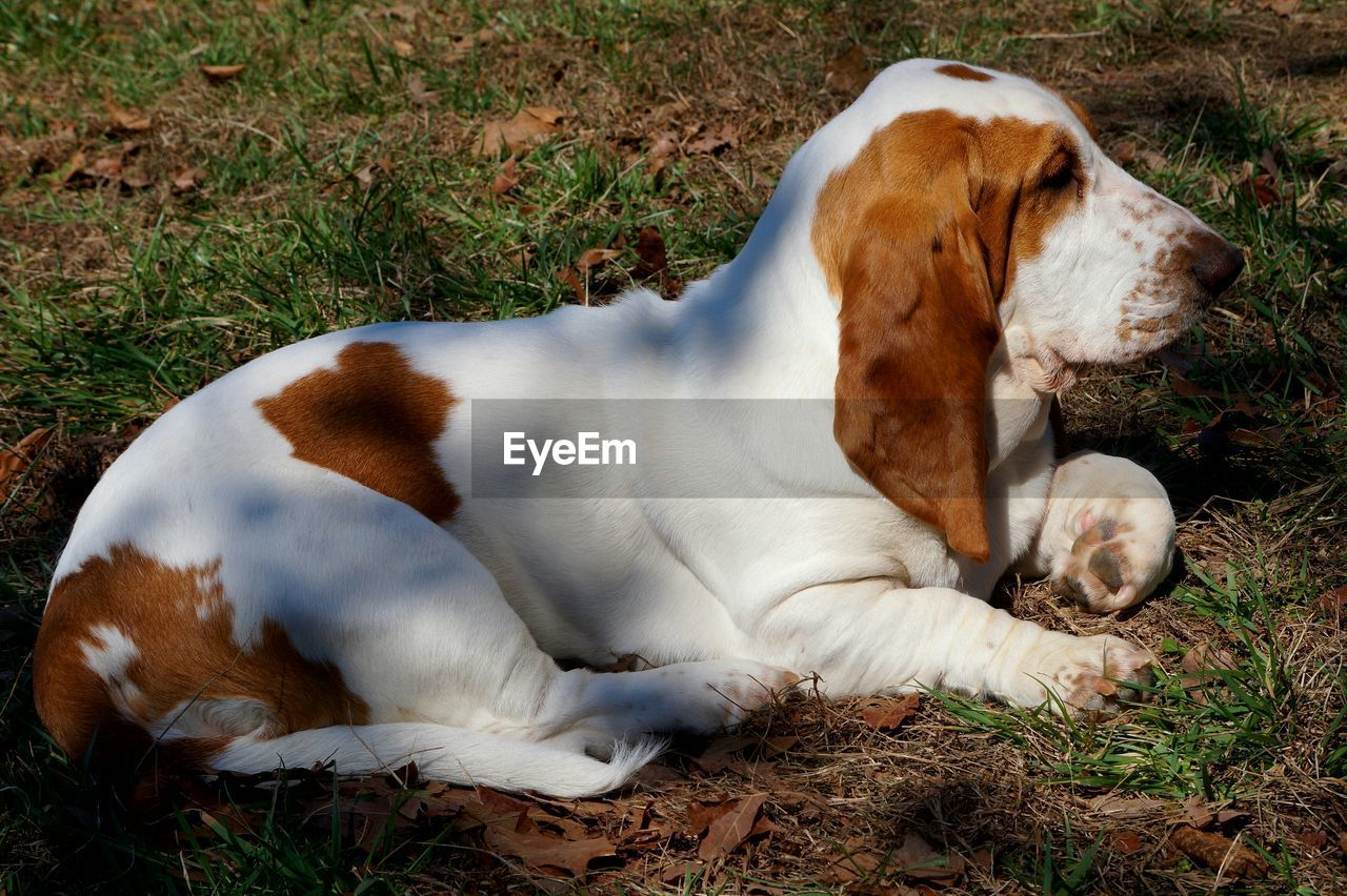 dog, pets, domestic animals, one animal, animal themes, mammal, eyes closed, relaxation, lying down, grass, day, beagle, no people, outdoors, nature, close-up