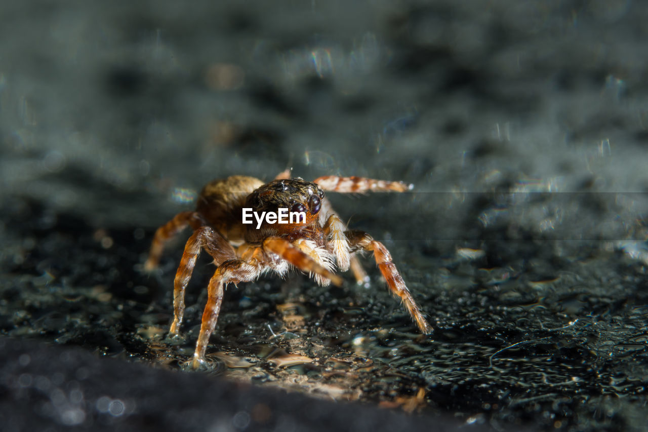 one animal, animal themes, animals in the wild, animal wildlife, animal, arthropod, invertebrate, arachnid, spider, insect, day, zoology, close-up, selective focus, nature, animal body part, outdoors, jumping spider, no people, animal leg