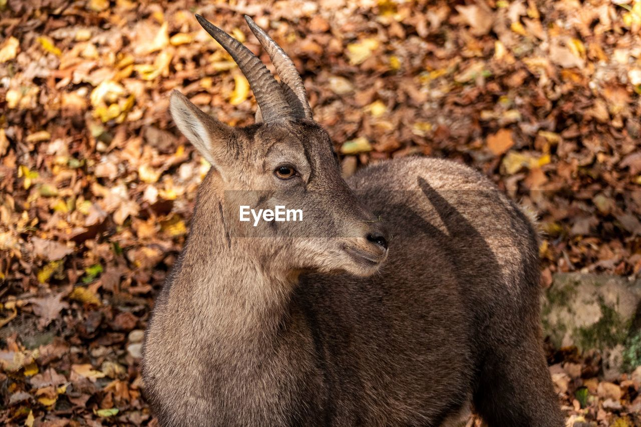 animal themes, one animal, animal, animal wildlife, mammal, animals in the wild, autumn, nature, land, no people, day, plant part, leaf, brown, animal body part, close-up, outdoors, field, forest, deer, animal head, profile view