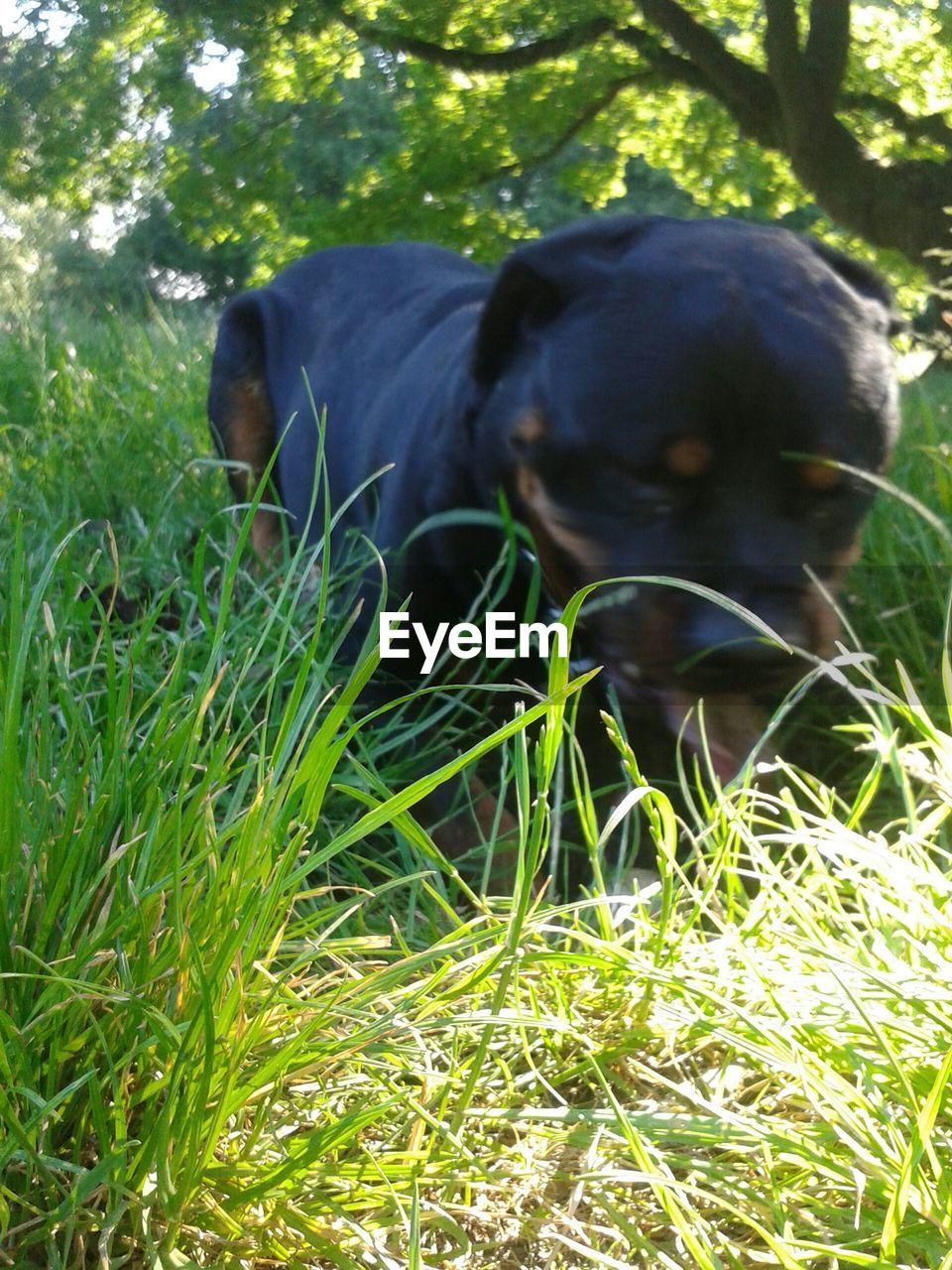 Rottweiler relaxing on grassy field