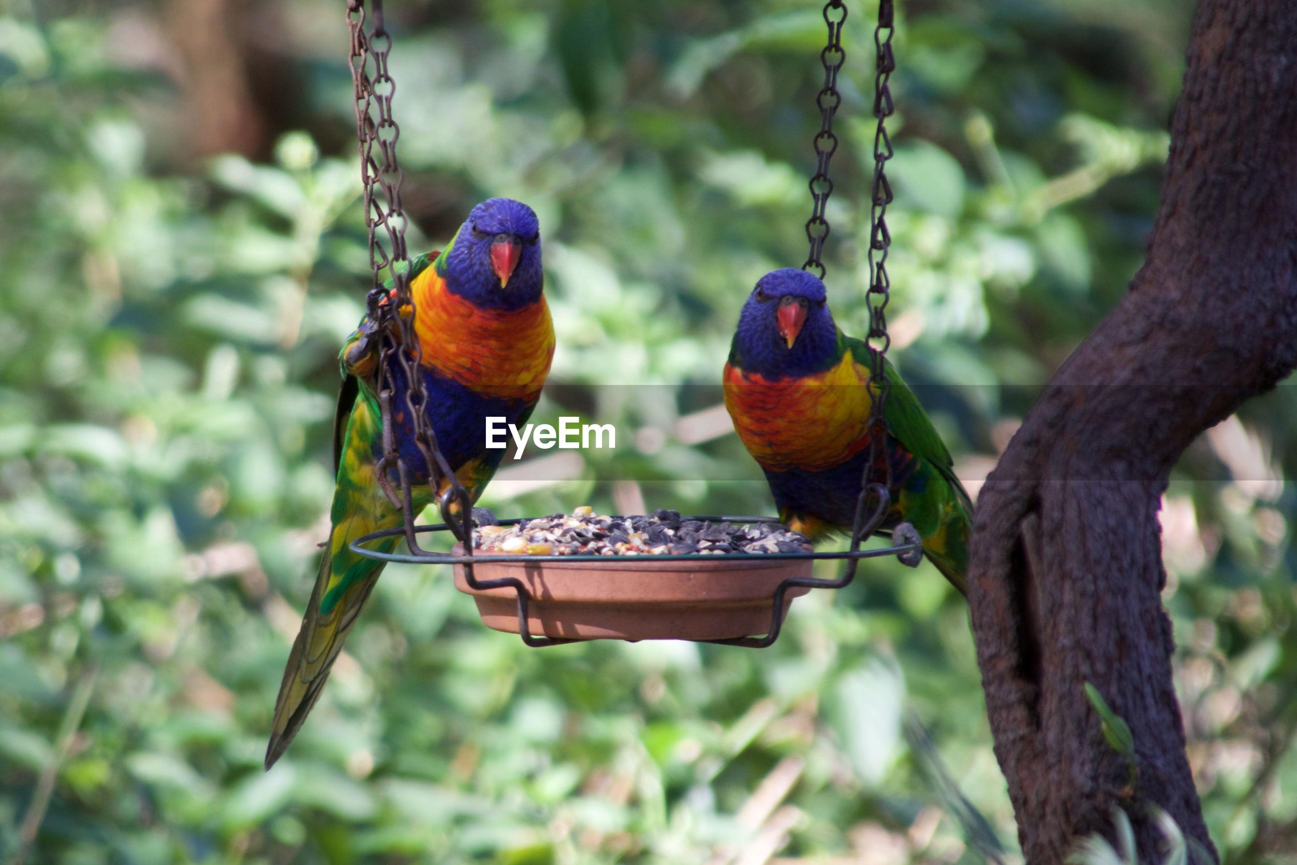 Rainbow lorikeets perching on feeder