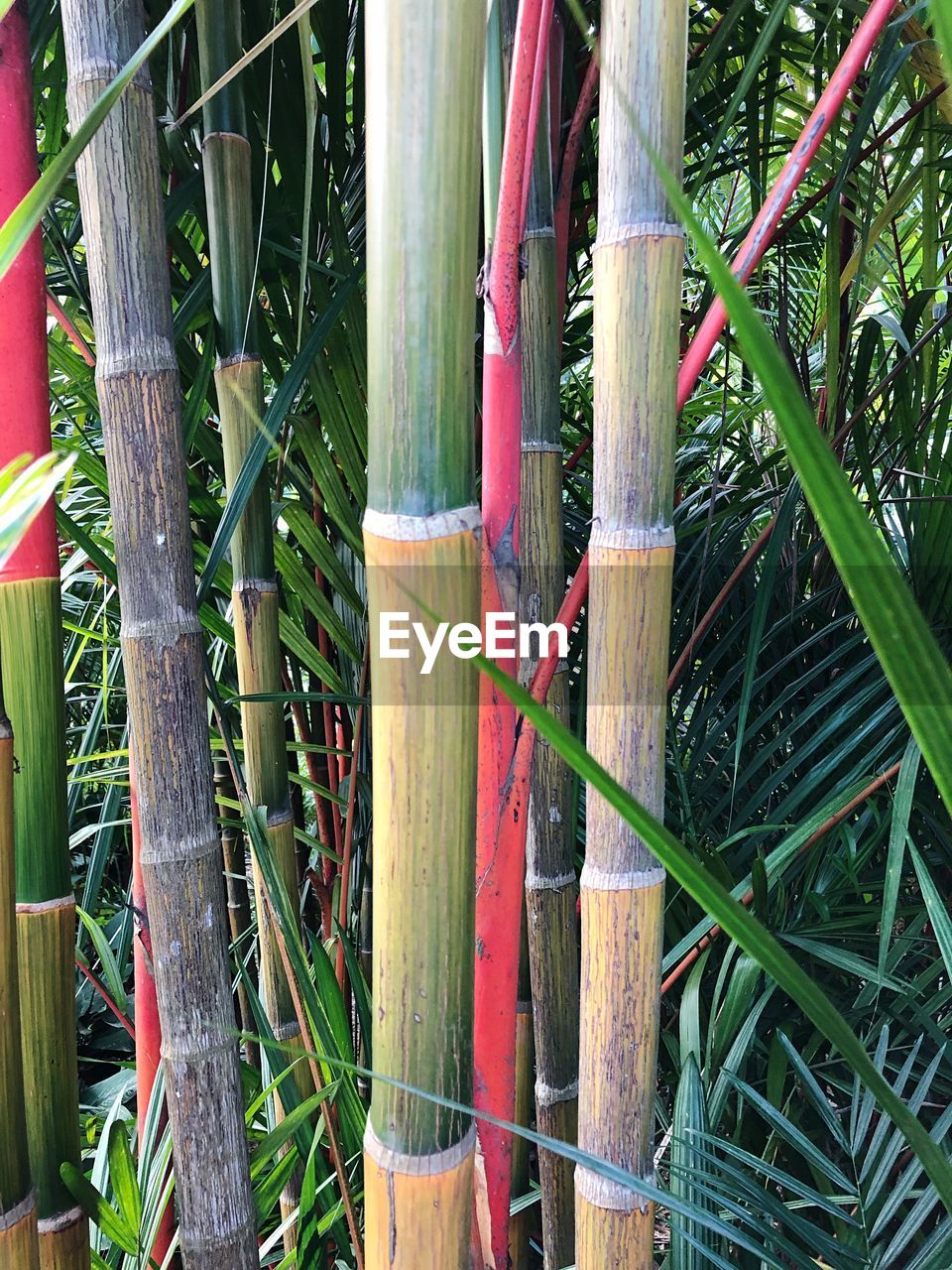 plant, growth, bamboo - plant, green color, no people, bamboo, nature, day, grass, close-up, outdoors, wood - material, plant part, land, field, bamboo grove, leaf, tranquility, beauty in nature, tree, blade of grass