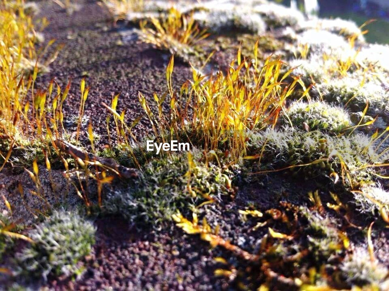 nature, selective focus, growth, plant, close-up, no people, beauty in nature, winter, day, outdoors, fragility, cold temperature, moss, snow, fungus, grass, freshness, flower