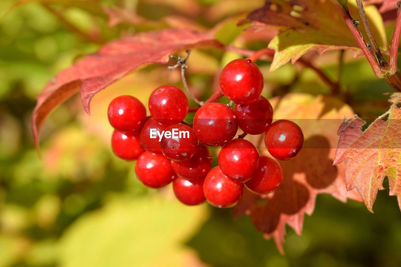 fruit, red, growth, food and drink, focus on foreground, nature, tree, close-up, food, outdoors, day, rowanberry, no people, leaf, freshness, beauty in nature, branch, healthy eating, water