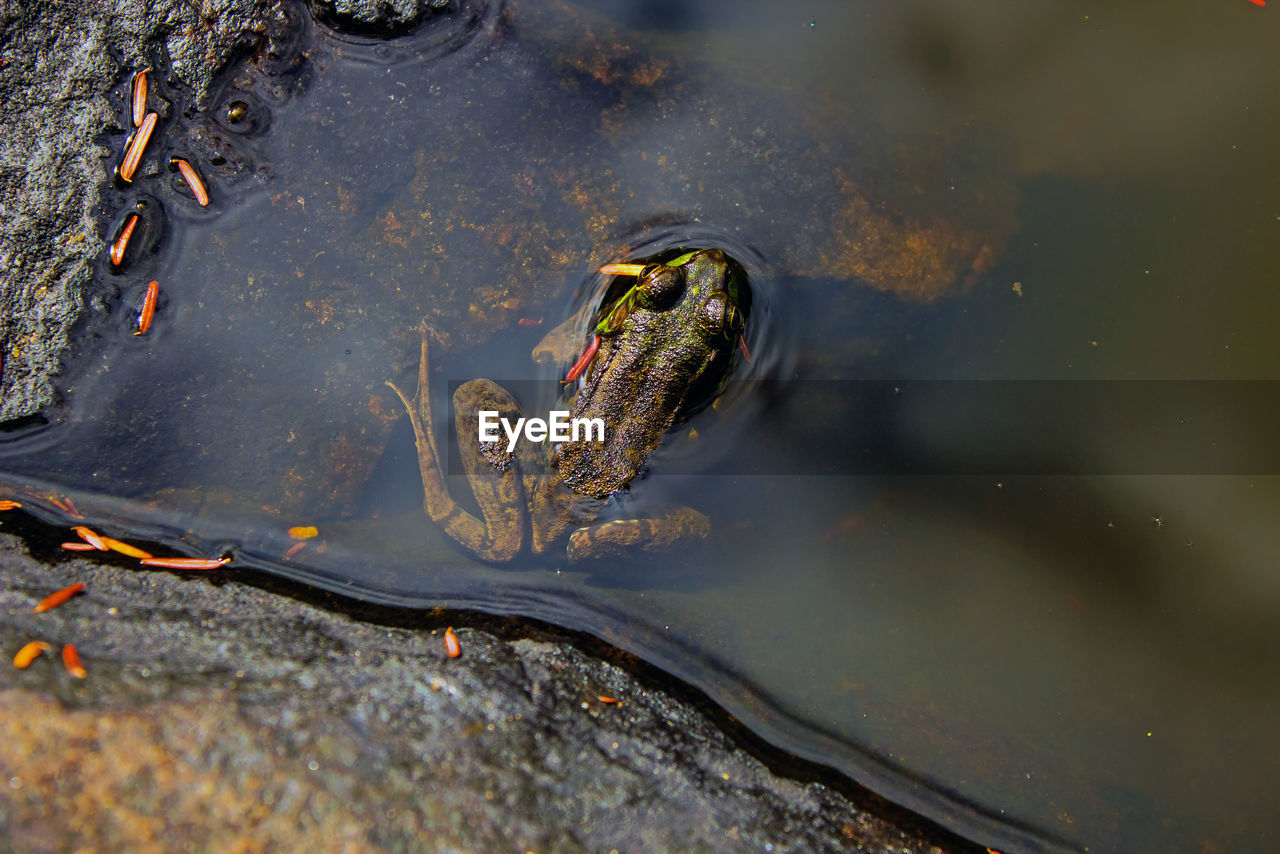 Close-up of frog in an adirondack mountain pond