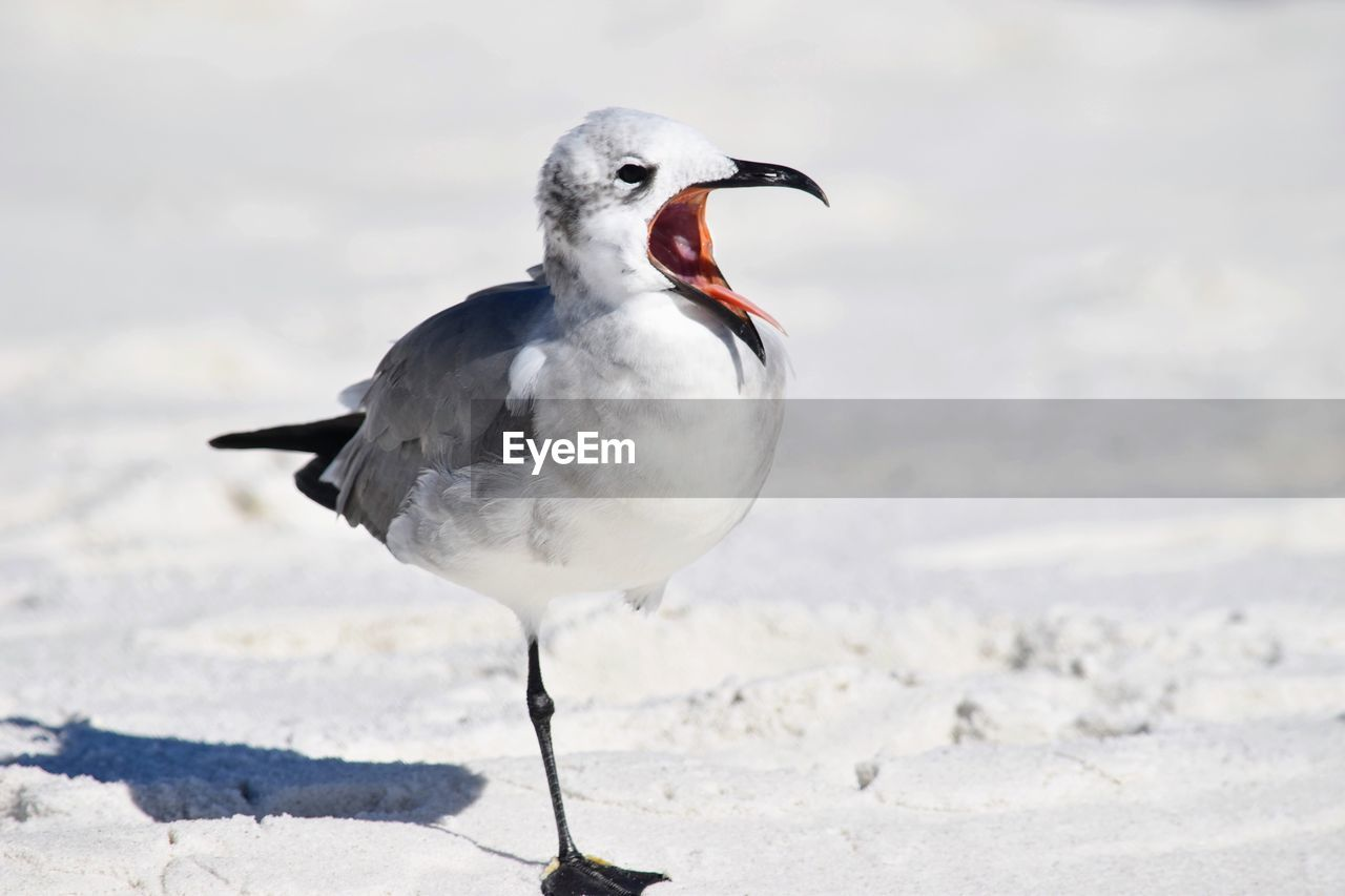 animal, animal themes, animal wildlife, animals in the wild, one animal, bird, vertebrate, day, seagull, focus on foreground, nature, land, no people, beach, mouth, perching, white color, close-up, mouth open, full length, beak