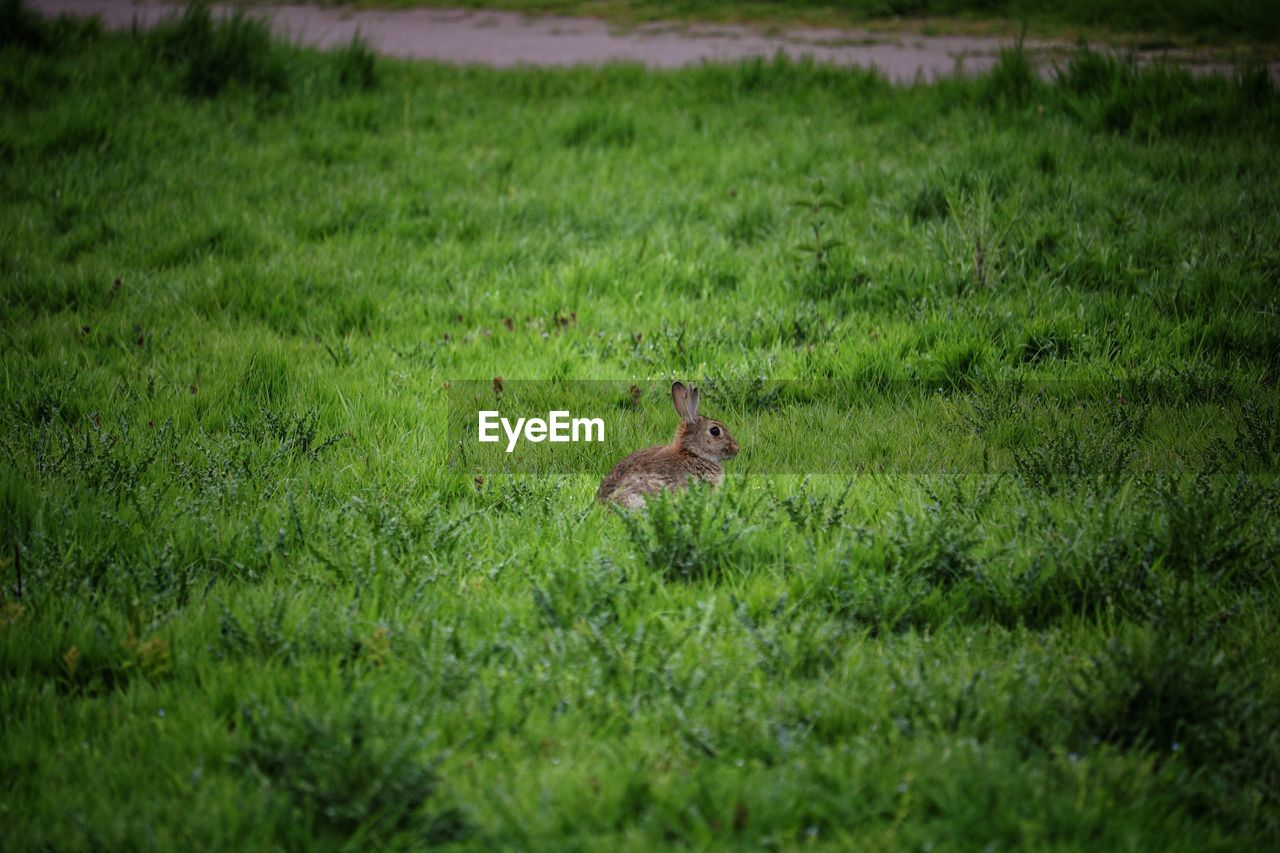 plant, animal, animal themes, grass, mammal, one animal, green color, field, animal wildlife, land, animals in the wild, nature, vertebrate, no people, selective focus, day, rodent, outdoors, growth, cat