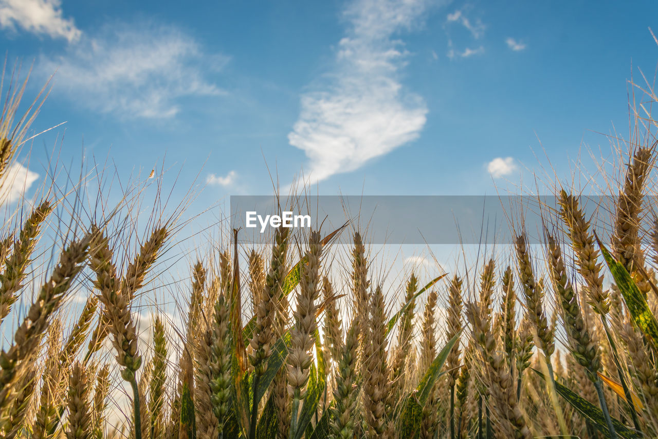 Low Angle View Of Wheat Growing On Agricultural Field Against Sky