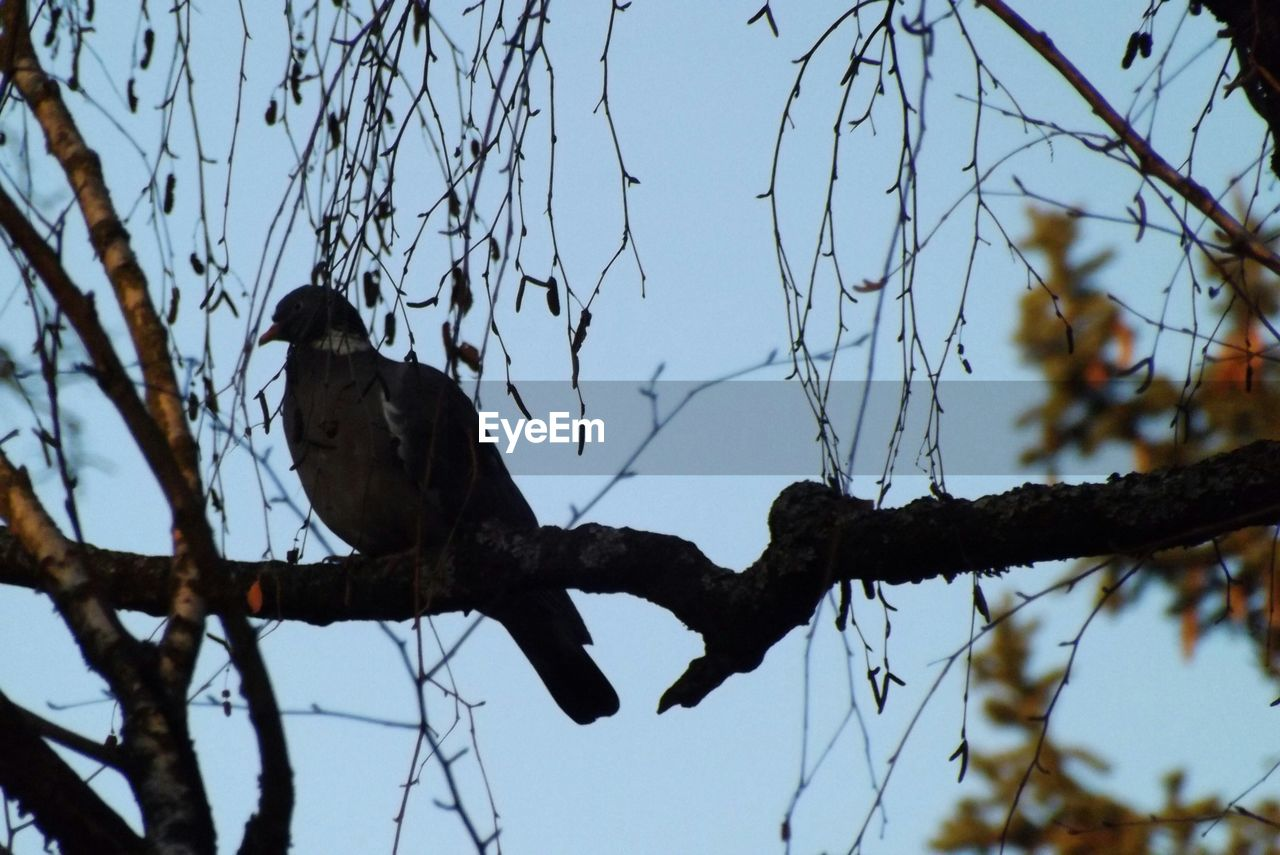 bird, animals in the wild, animal themes, branch, one animal, perching, low angle view, tree, animal wildlife, day, no people, outdoors, nature, bare tree, sky, clear sky, beauty in nature
