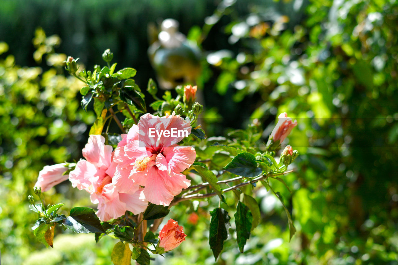 plant, flower, flowering plant, growth, beauty in nature, vulnerability, fragility, close-up, freshness, petal, leaf, pink color, green color, nature, plant part, flower head, inflorescence, no people, day, focus on foreground, outdoors, pollen