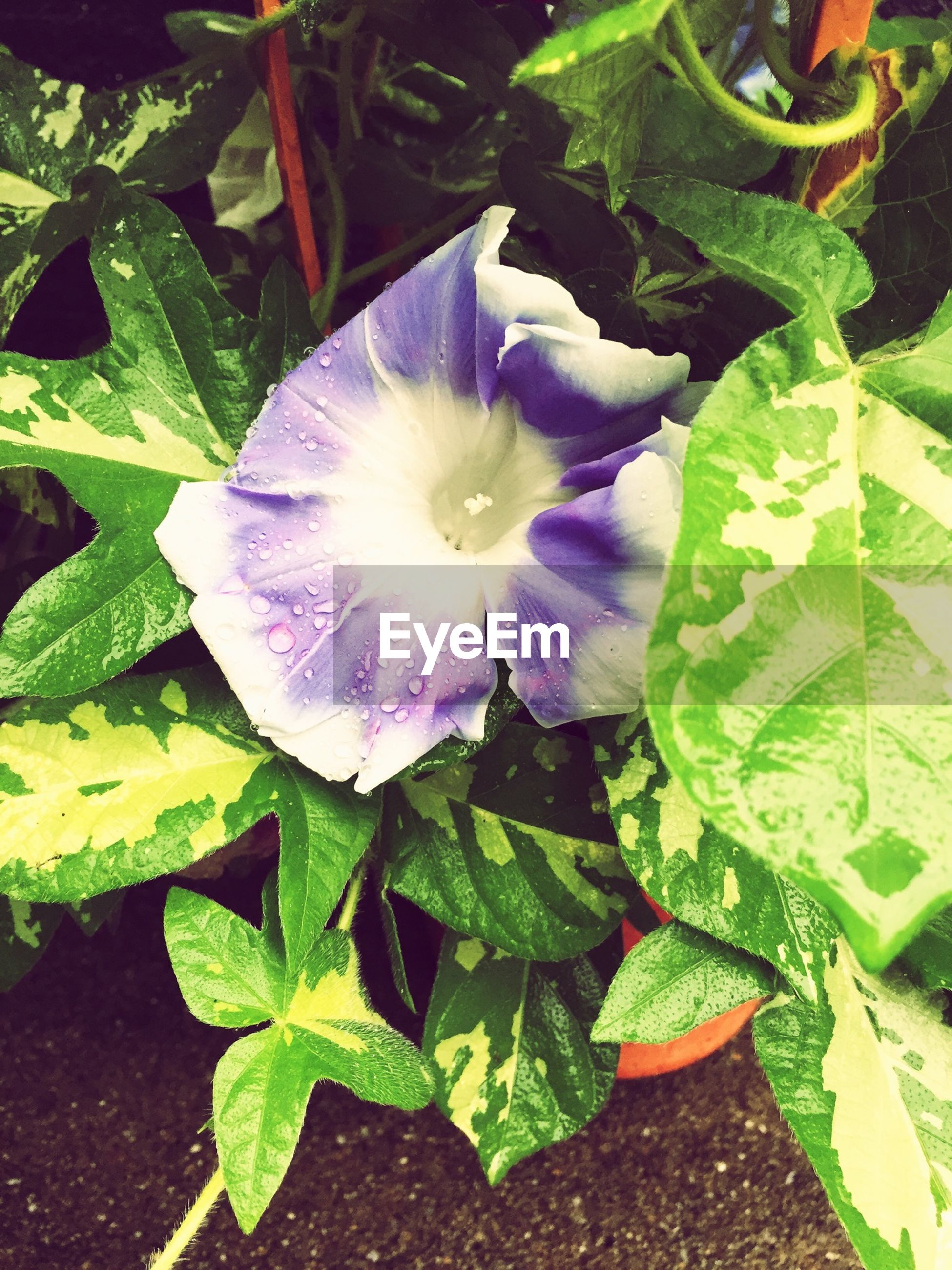 flower, freshness, leaf, petal, fragility, growth, flower head, beauty in nature, green color, plant, single flower, nature, close-up, blooming, high angle view, purple, in bloom, white color, no people, day