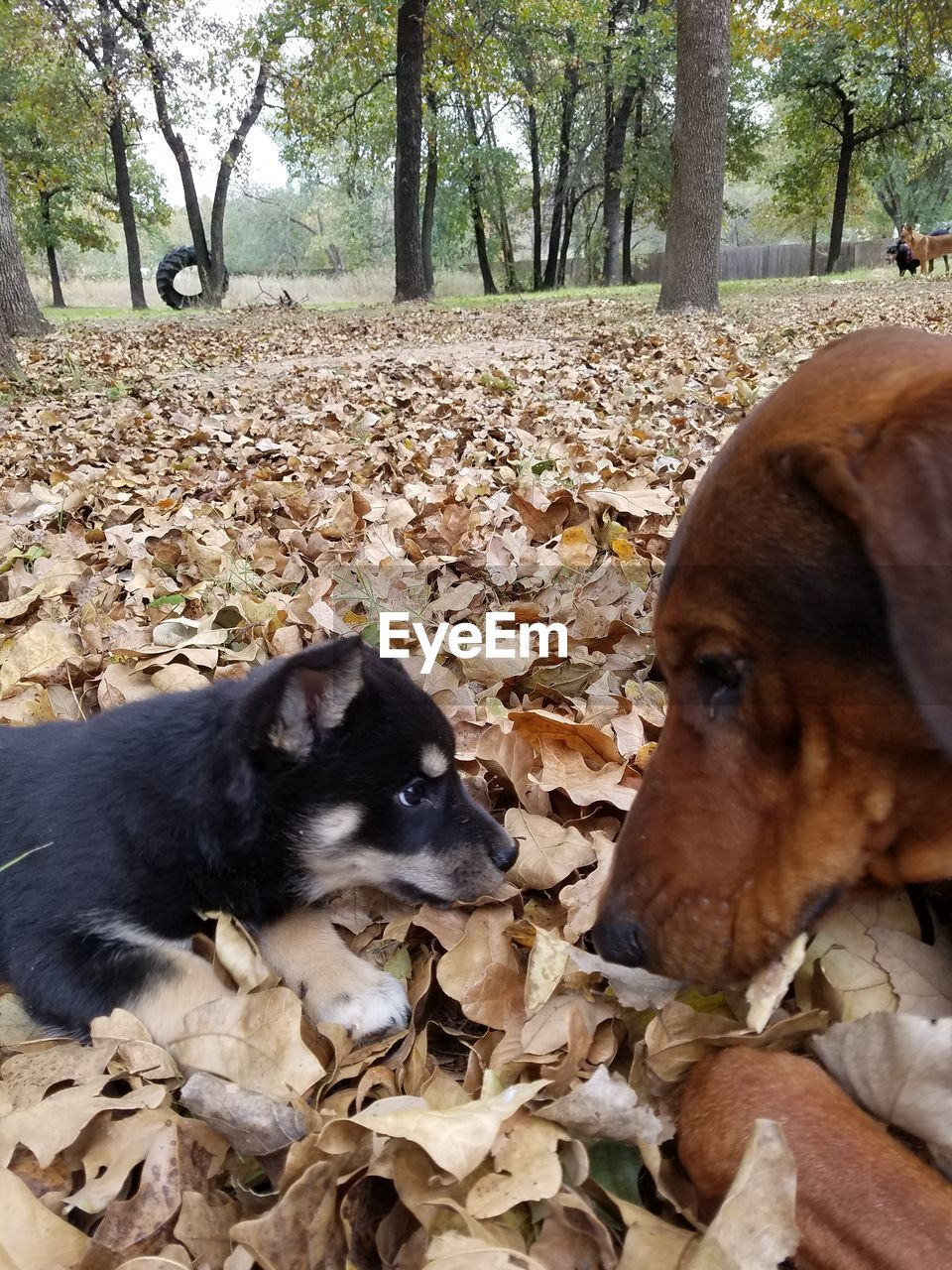 animal themes, tree, dog, domestic animals, mammal, nature, day, field, pets, leaf, autumn, outdoors, no people, close-up