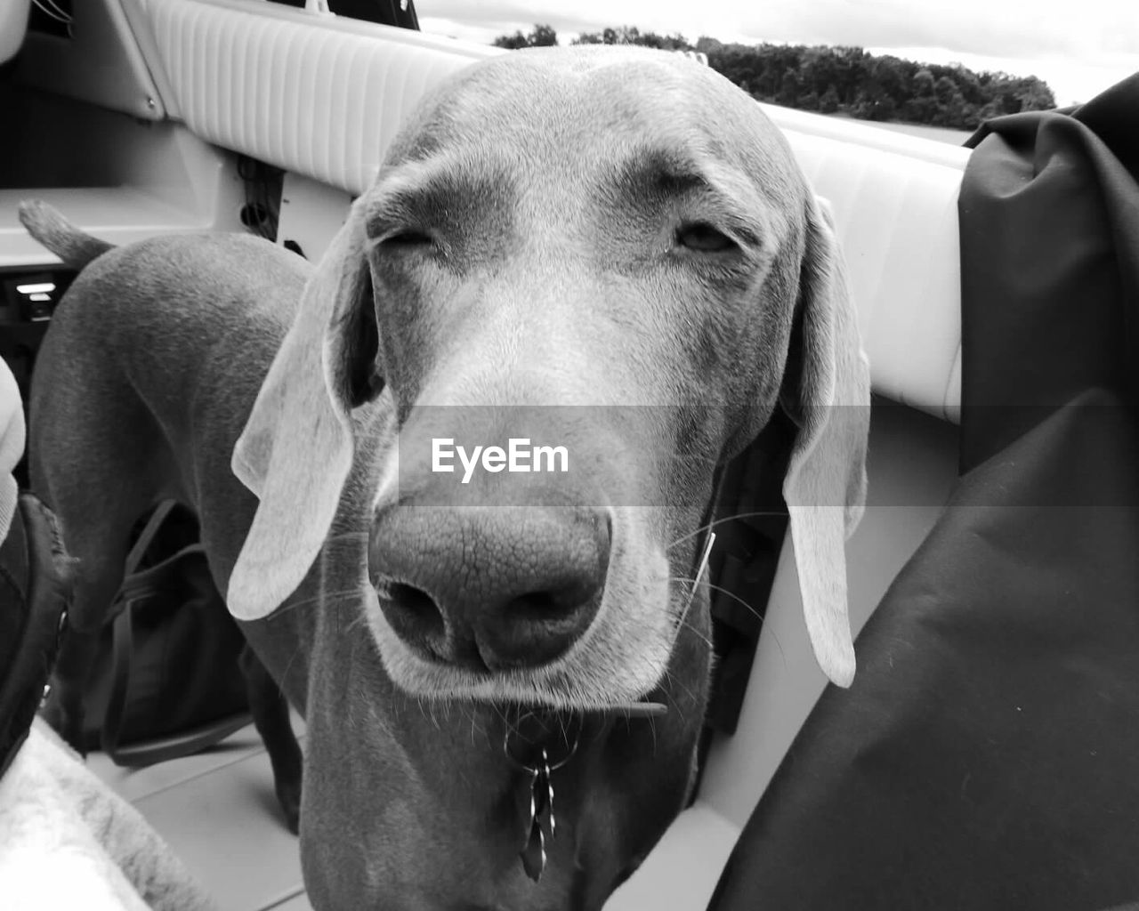 Close-Up Of Weimaraner In Boat