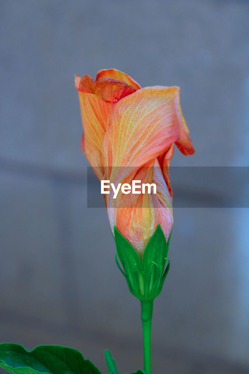 flower, petal, fragility, beauty in nature, freshness, flower head, growth, nature, plant, close-up, focus on foreground, no people, leaf, day, outdoors, blooming, day lily