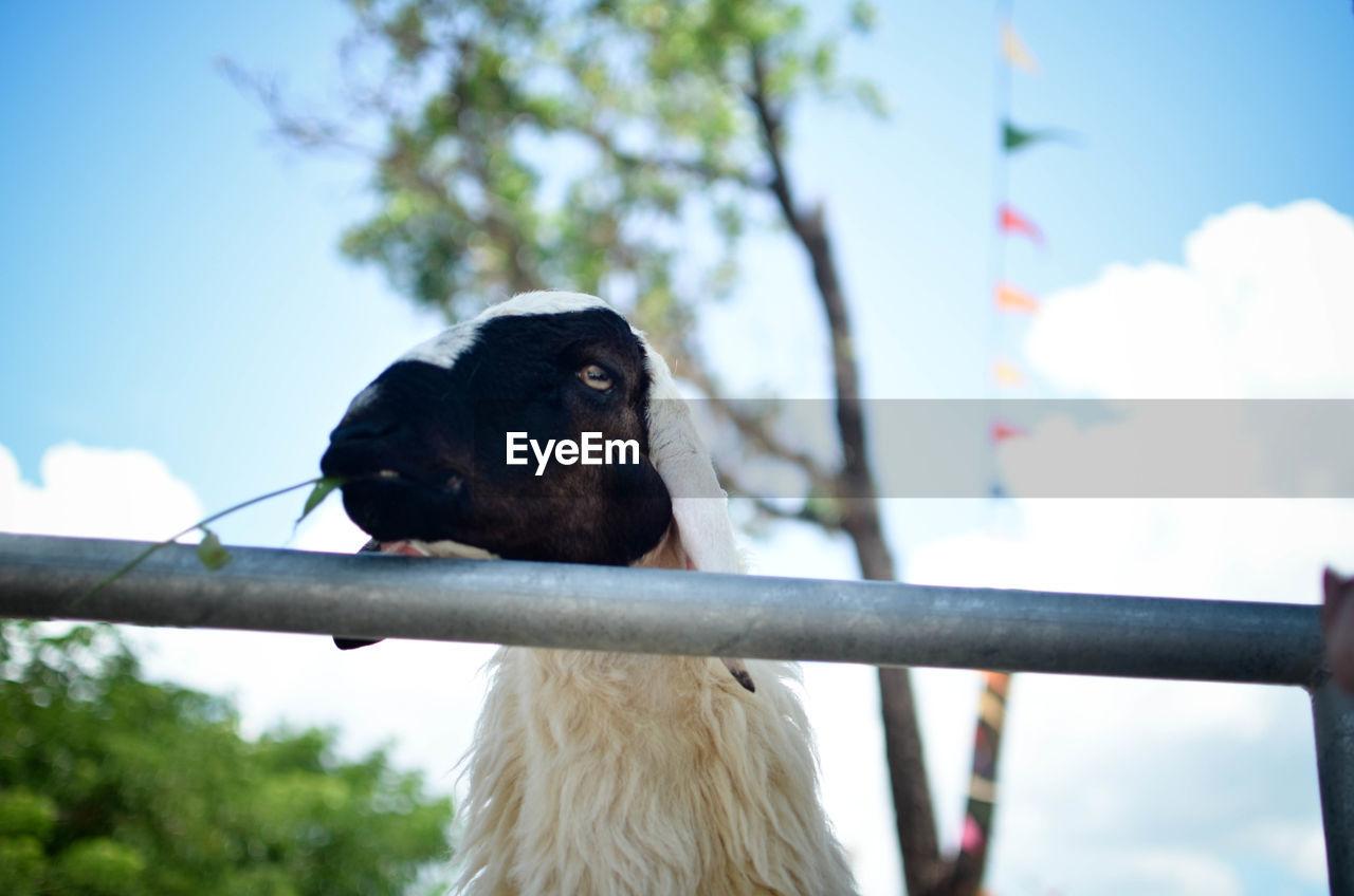Goat looking through railing against sky