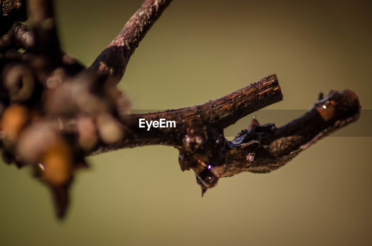 close-up, no people, selective focus, nature, branch, focus on foreground, day, animal wildlife, tree, one animal, outdoors, plant, water, animals in the wild, animal, twig, brown, rusty, animal themes