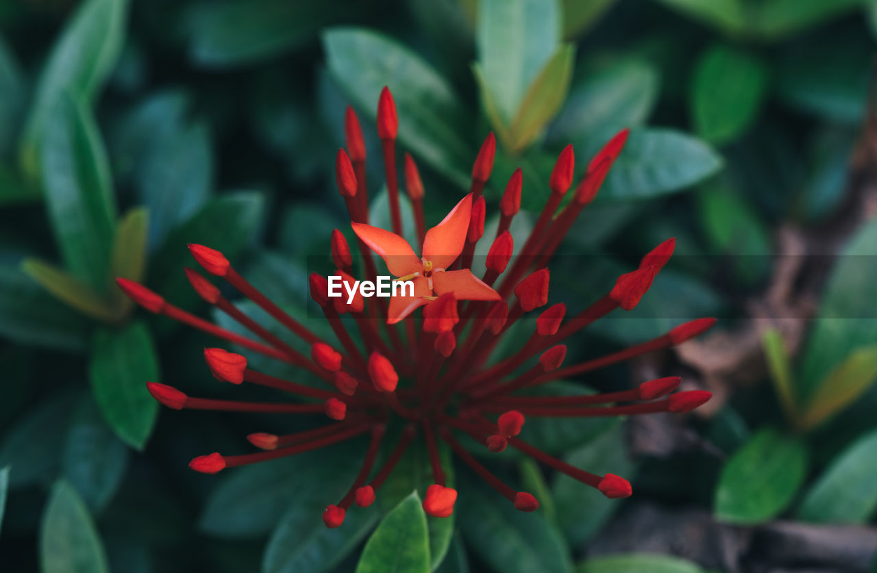 flowering plant, growth, flower, beauty in nature, plant, fragility, vulnerability, freshness, close-up, petal, red, inflorescence, flower head, nature, plant part, leaf, no people, day, focus on foreground, outdoors