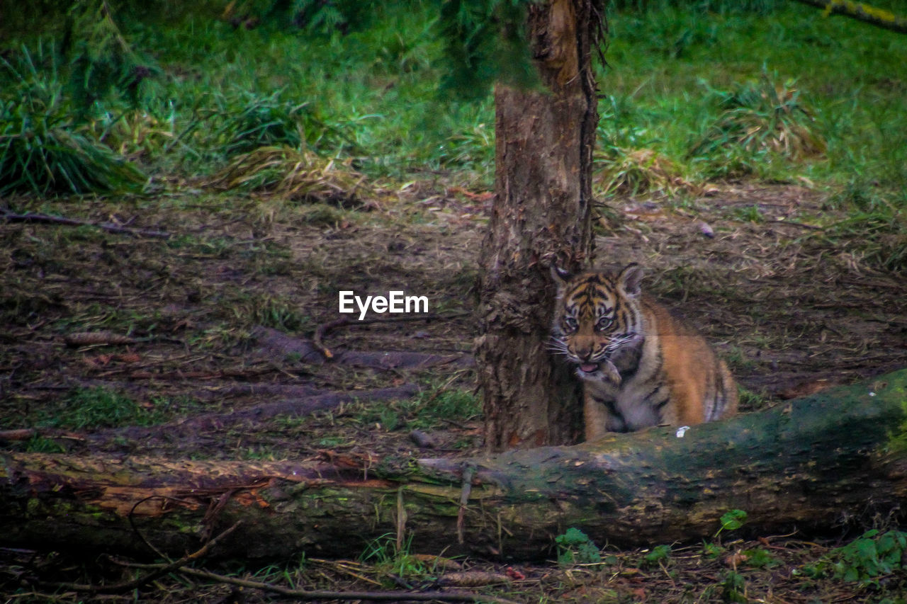 one animal, animals in the wild, animal themes, mammal, forest, animal wildlife, outdoors, no people, day, nature, feline, tree, leopard
