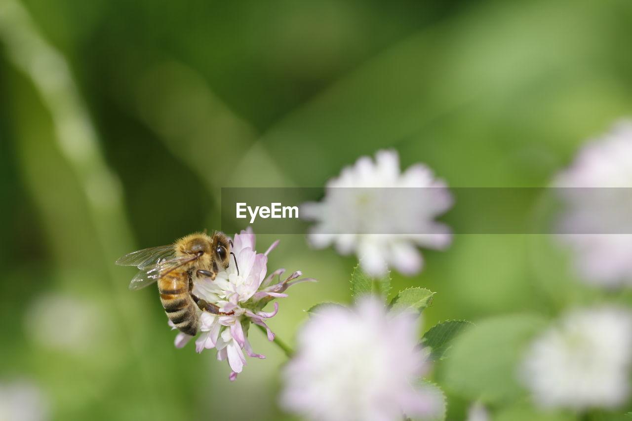 CLOSE-UP OF HONEY BEE POLLINATING ON FRESH PURPLE FLOWER