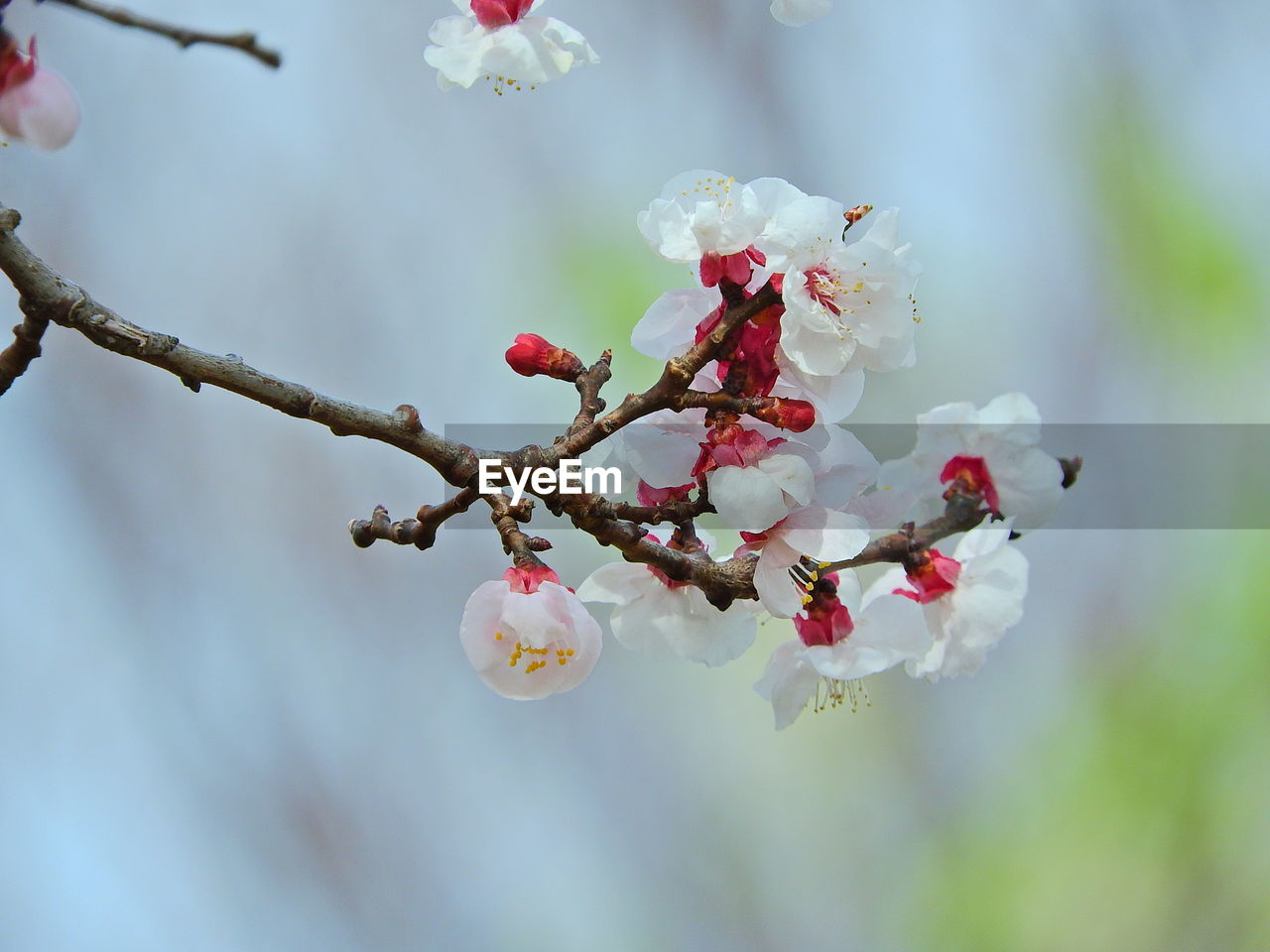 nature, beauty in nature, growth, tree, fragility, flower, freshness, focus on foreground, white color, day, twig, outdoors, no people, close-up, branch, springtime, blooming, flower head