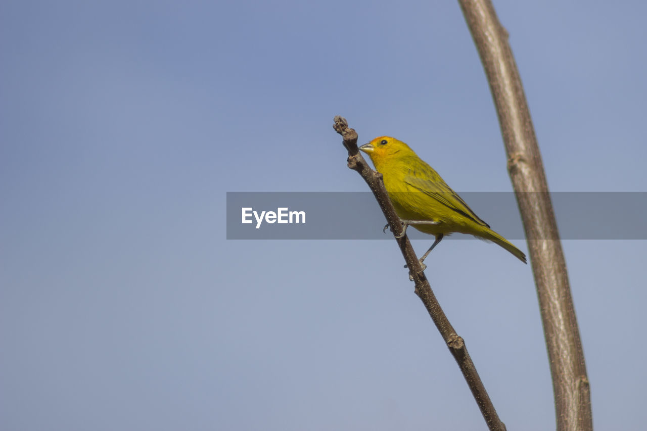 bird, vertebrate, animal themes, animal, animal wildlife, one animal, animals in the wild, perching, low angle view, sky, clear sky, copy space, branch, yellow, blue, tree, nature, no people, plant, day, outdoors