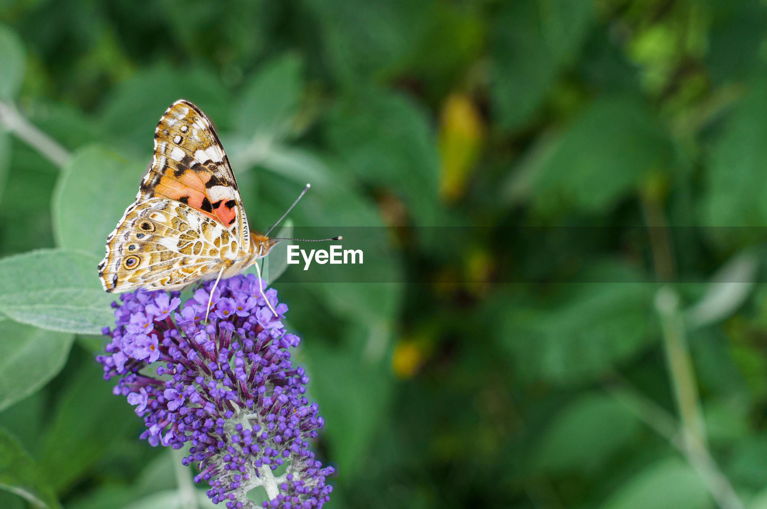 BUTTERFLY POLLINATING ON PURPLE FLOWER