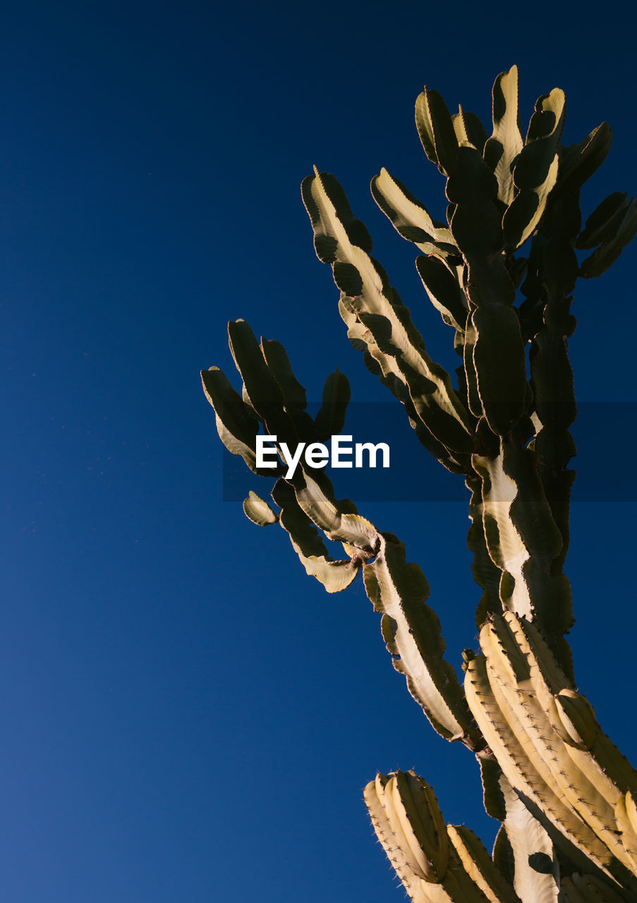 LOW ANGLE VIEW OF SUCCULENT PLANT AGAINST BLUE SKY