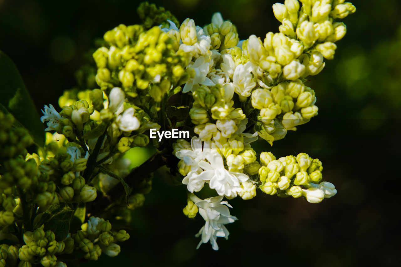 flower, flowering plant, vulnerability, plant, fragility, beauty in nature, growth, freshness, close-up, petal, flower head, inflorescence, nature, white color, no people, focus on foreground, day, selective focus, plant part, green color, outdoors, springtime, bunch of flowers, lilac