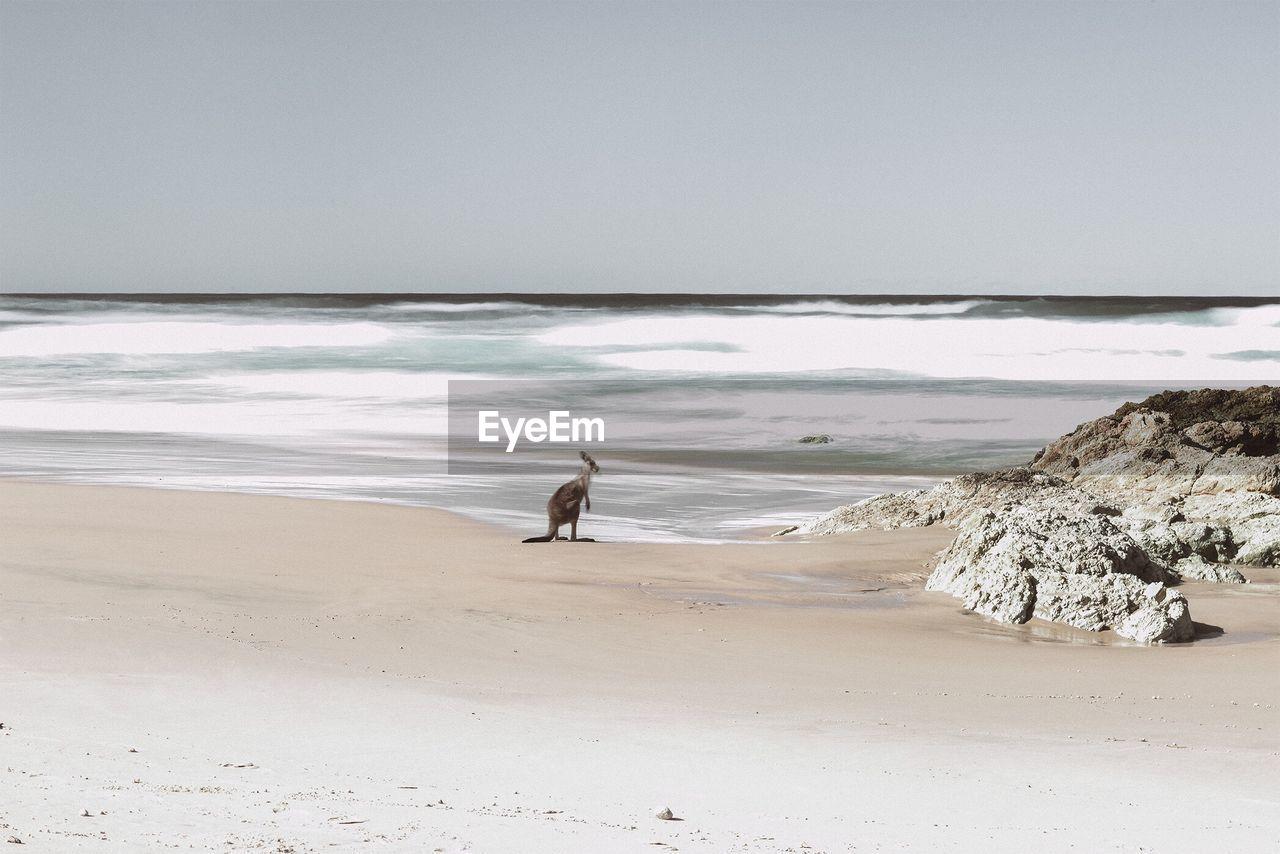 Kangaroo On Sea Shore At Beach Against Sky