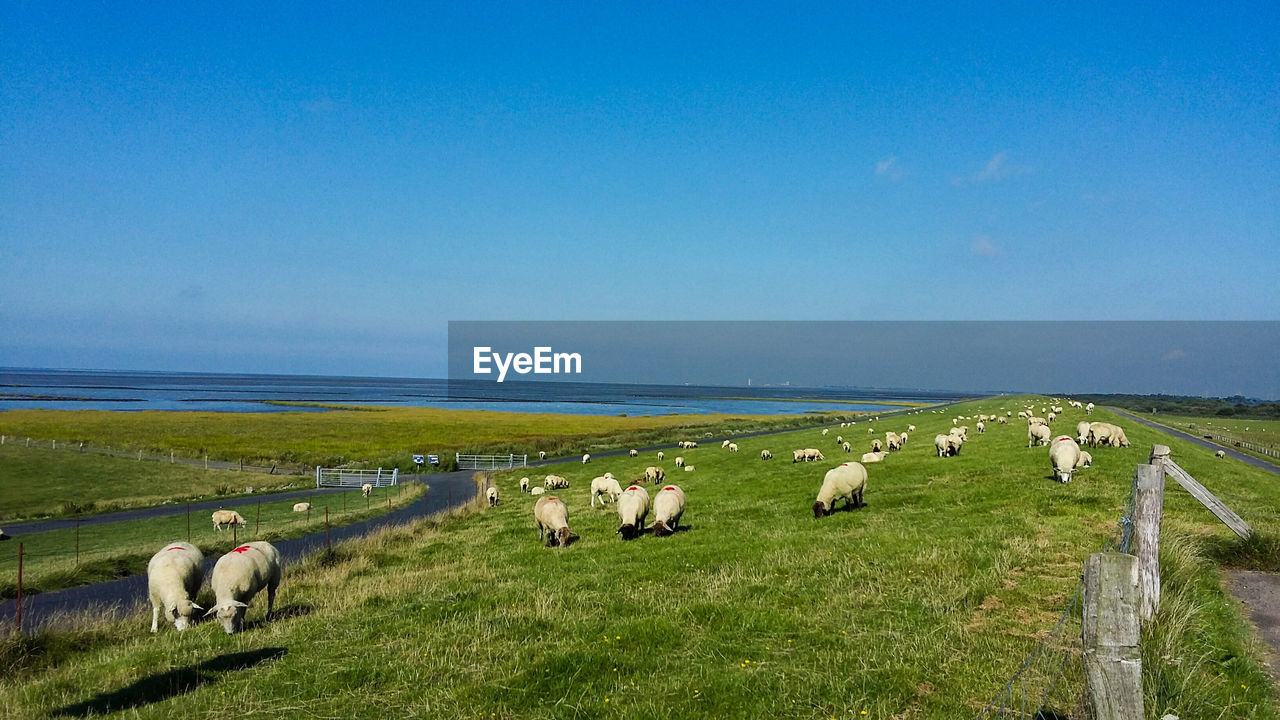 SHEEP GRAZING ON FIELD BY SEA AGAINST SKY