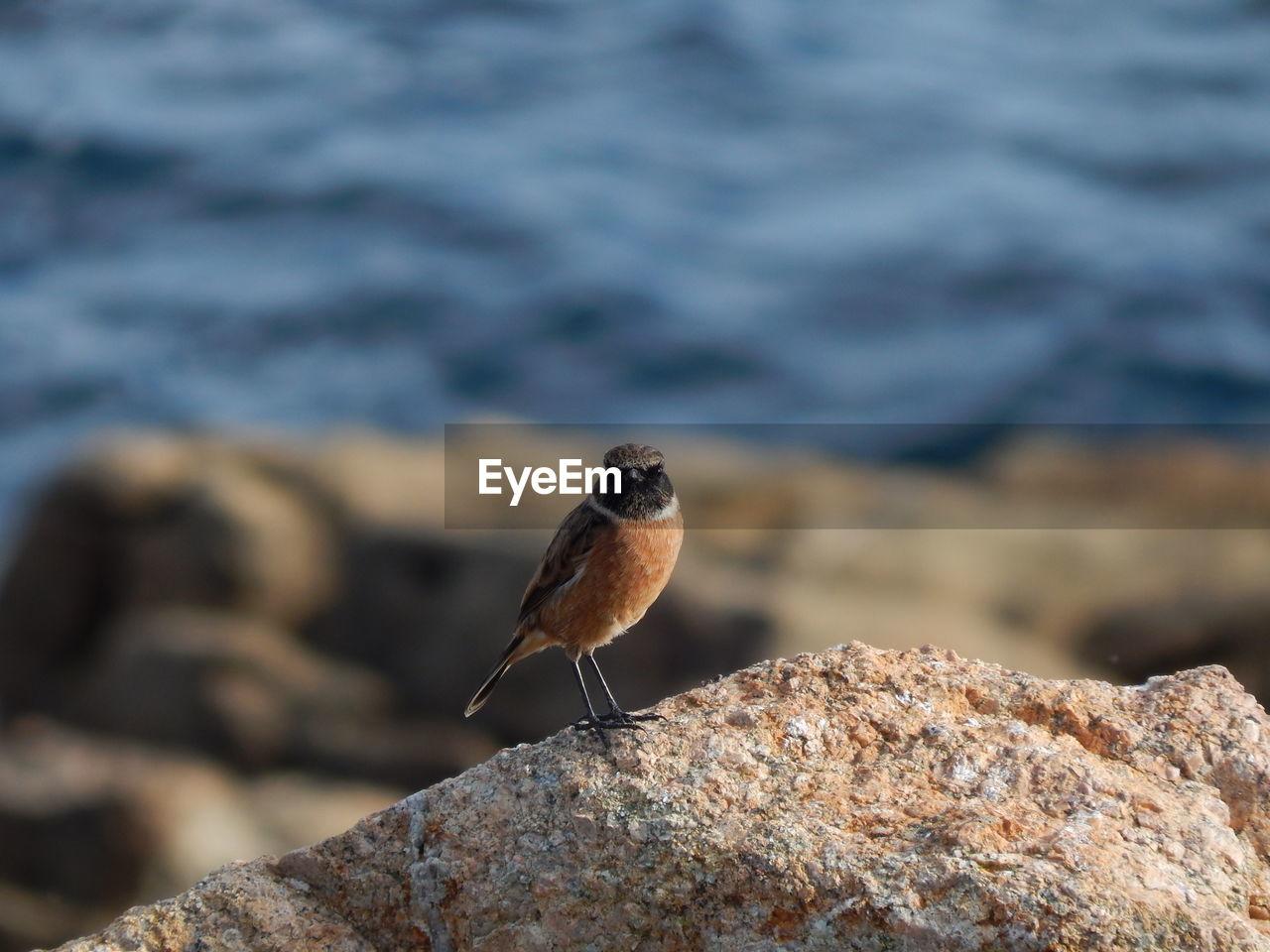 Robin Bird Perching On Rock