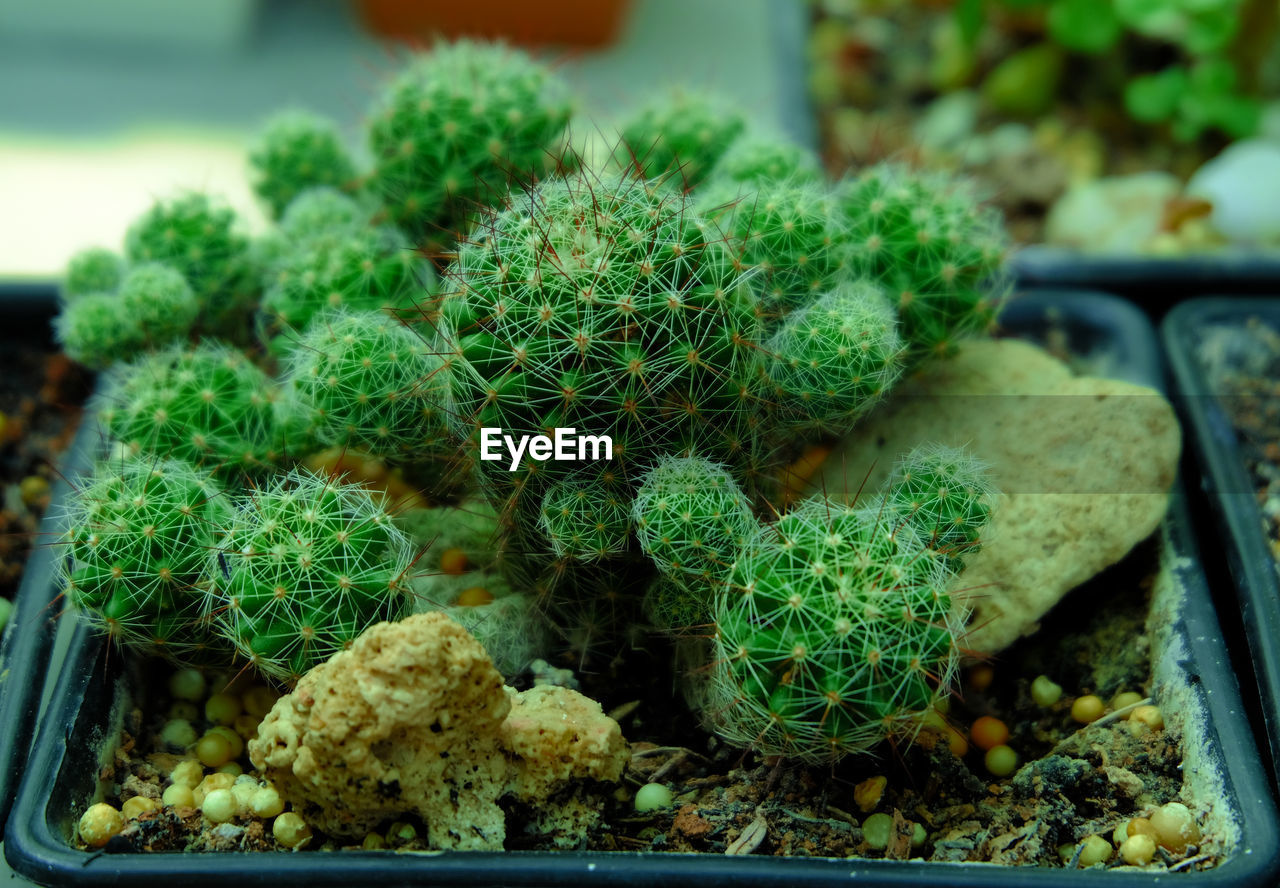 green color, no people, growth, succulent plant, plant, close-up, food and drink, food, freshness, potted plant, cactus, day, beauty in nature, focus on foreground, selective focus, healthy eating, nature, container, wellbeing, indoors