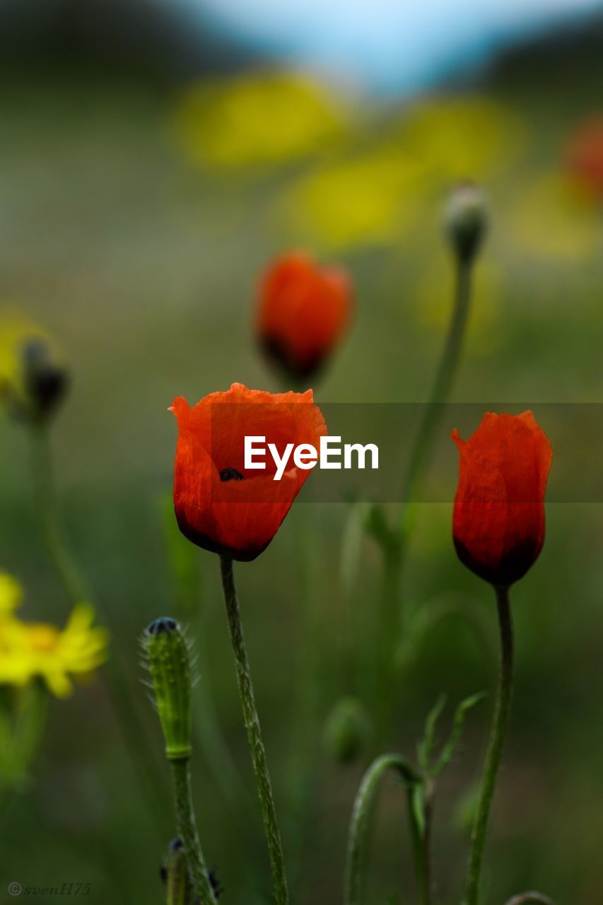 flower, beauty in nature, plant, flowering plant, growth, fragility, vulnerability, close-up, freshness, petal, nature, focus on foreground, inflorescence, field, no people, land, flower head, plant stem, poppy, red, outdoors