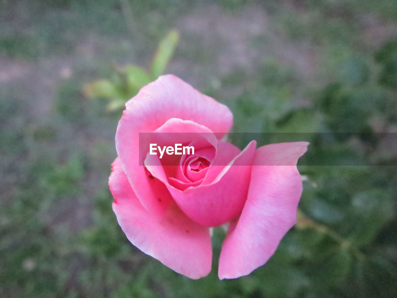 flower, petal, nature, beauty in nature, rose - flower, fragility, flower head, pink color, freshness, no people, plant, focus on foreground, close-up, growth, outdoors, blooming, day, rose petals
