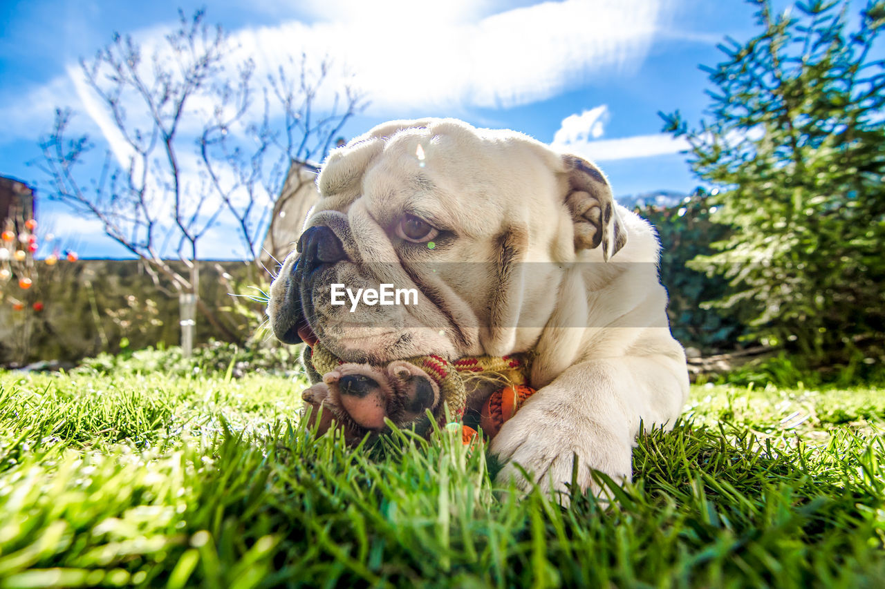 one animal, dog, canine, mammal, animal themes, pets, domestic, domestic animals, animal, grass, plant, vertebrate, relaxation, nature, no people, field, sky, lying down, close-up, day, animal head, surface level