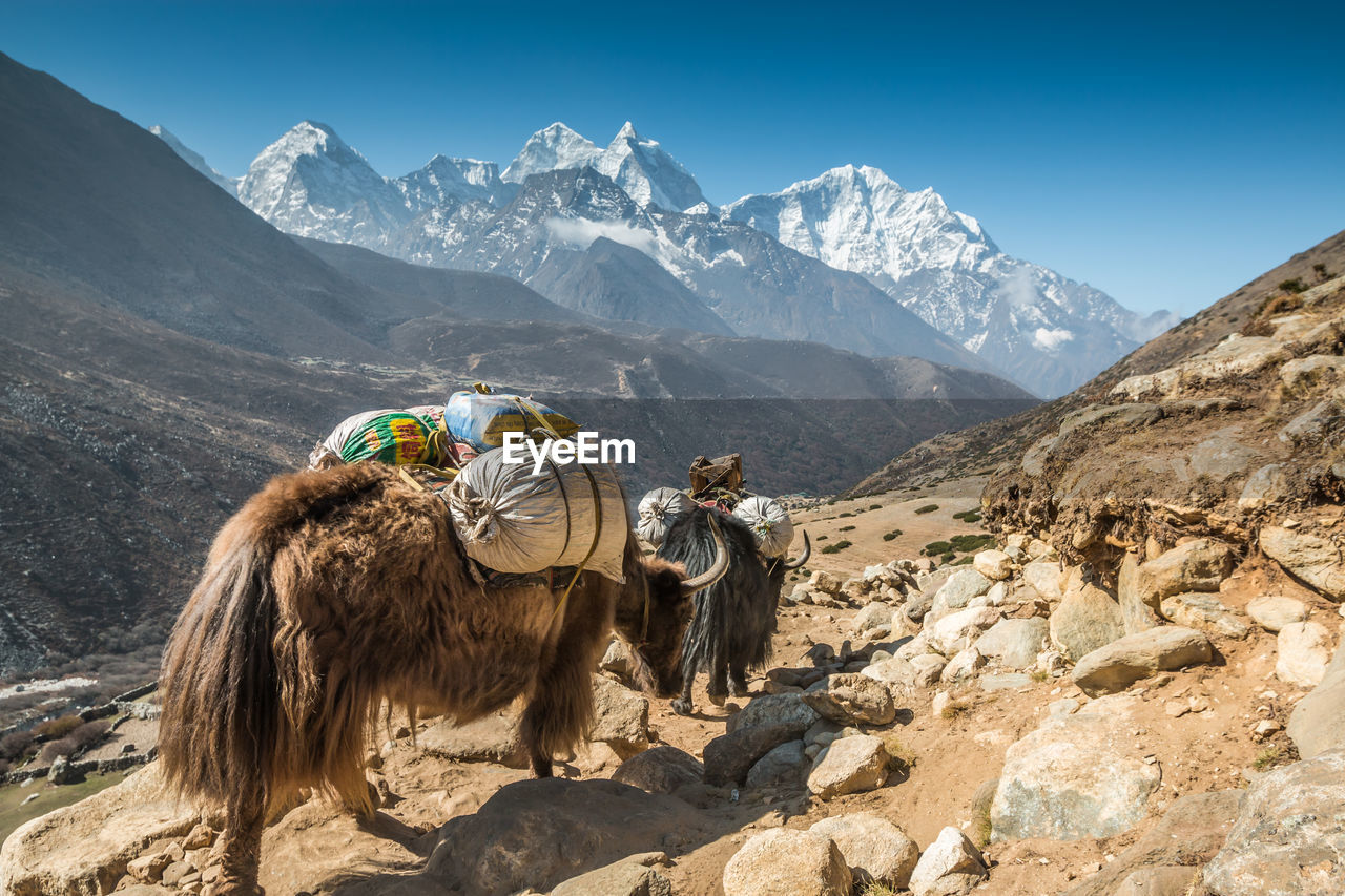 mountain, mammal, mountain range, animal themes, scenics - nature, animal, rock, beauty in nature, group of animals, sky, nature, vertebrate, rock - object, solid, sunlight, day, domestic animals, animal wildlife, livestock, environment, no people, outdoors, snowcapped mountain, herbivorous