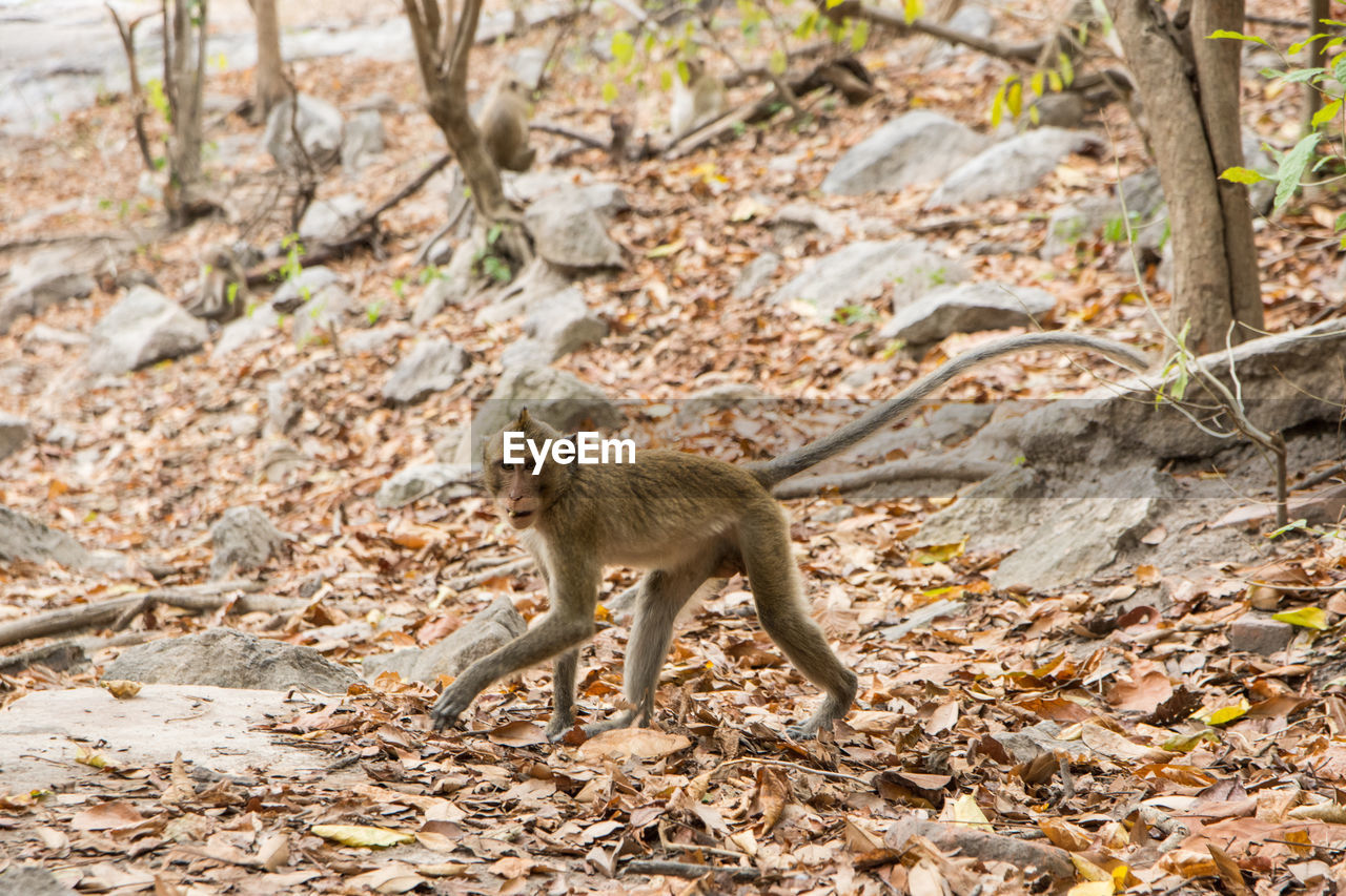 animals in the wild, one animal, animal wildlife, animal themes, outdoors, day, mammal, full length, no people, nature, tree, baboon